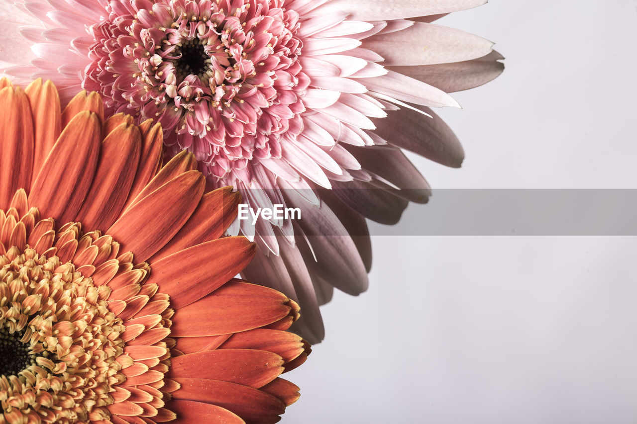 flower, flowering plant, freshness, vulnerability, petal, fragility, plant, beauty in nature, flower head, close-up, inflorescence, gerbera daisy, growth, nature, no people, daisy, indoors, studio shot, pollen, white background, flower arrangement