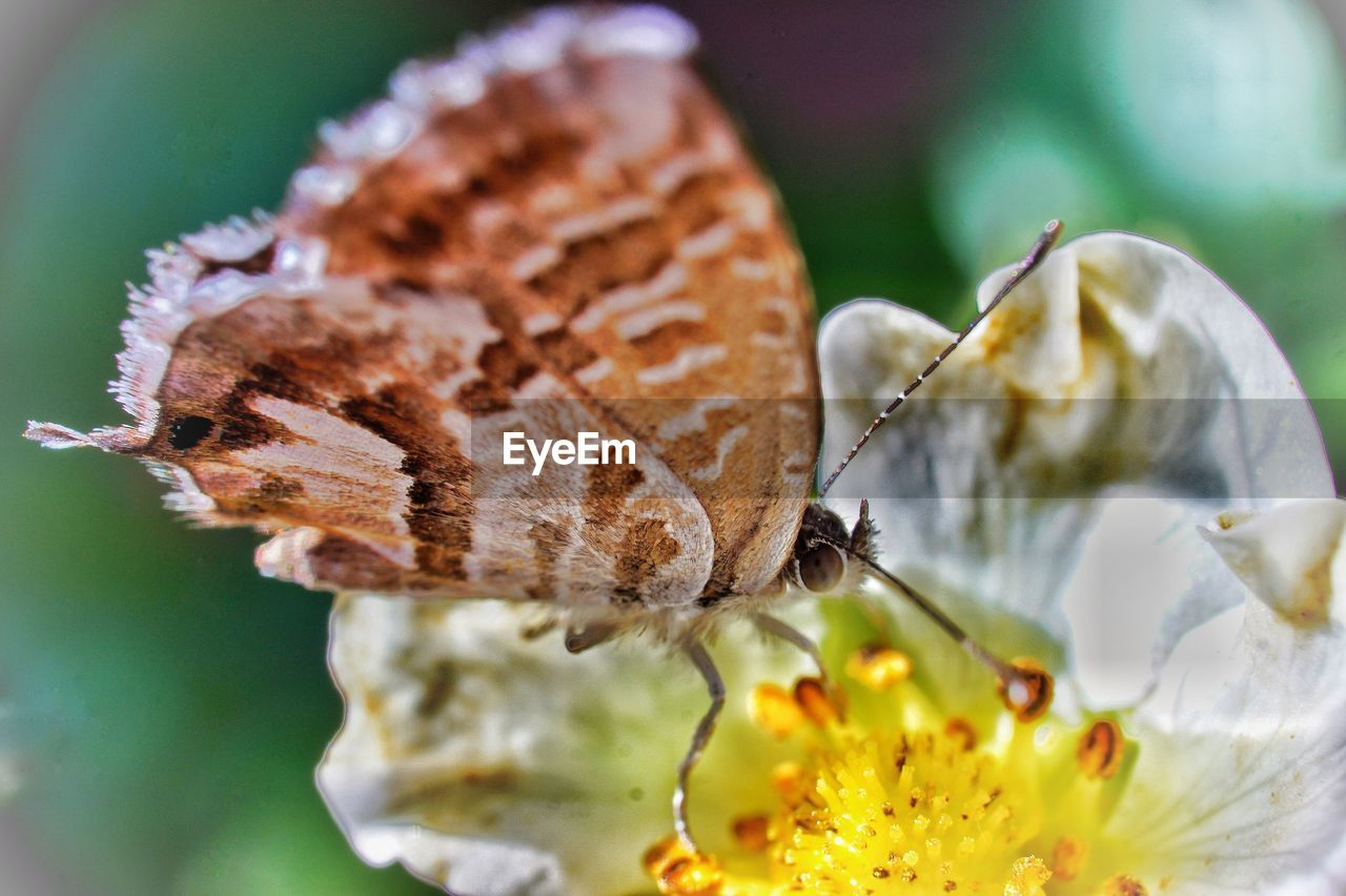 flower, beauty in nature, flowering plant, close-up, vulnerability, fragility, animal wildlife, invertebrate, plant, animals in the wild, insect, animal, animal themes, one animal, petal, freshness, growth, nature, butterfly - insect, flower head, no people, animal wing, outdoors, pollen, pollination, butterfly