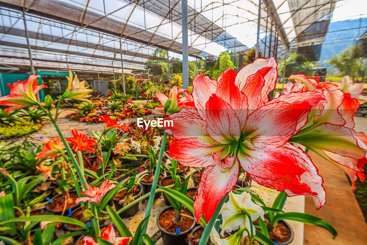 flower, growth, plant, greenhouse, nature, botany, fragility, beauty in nature, freshness, flower head, petal, day, plant nursery, no people, red, leaf, indoors, blooming, close-up