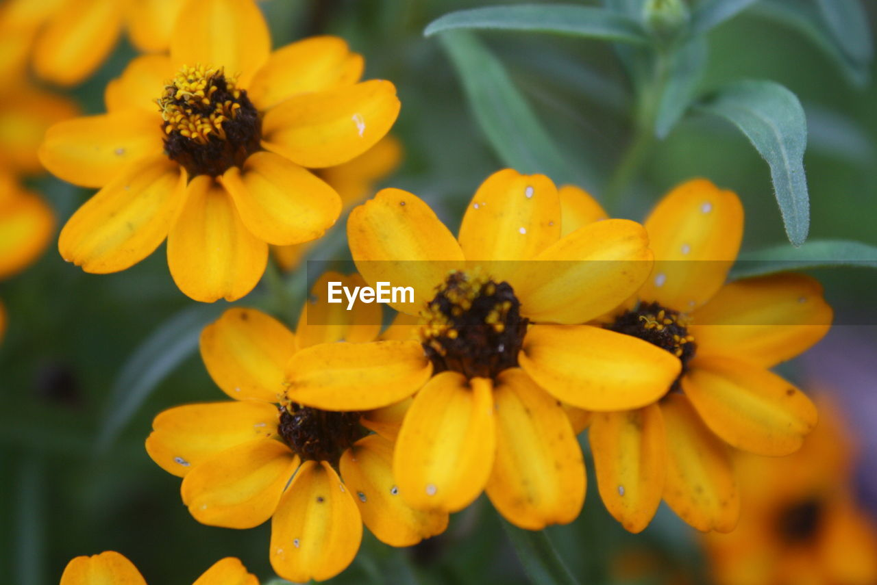flowering plant, flower, yellow, plant, growth, freshness, petal, flower head, fragility, inflorescence, vulnerability, beauty in nature, close-up, nature, pollen, no people, focus on foreground, day, black-eyed susan, outdoors