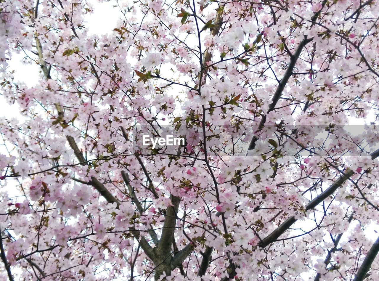 blossom, flower, tree, cherry blossom, springtime, branch, cherry tree, fragility, beauty in nature, growth, apple blossom, nature, freshness, pink color, almond tree, botany, low angle view, apple tree, orchard, twig, white color, magnolia, no people, petal, day, backgrounds, plum blossom, spring, outdoors, flower head, close-up, blooming, sky