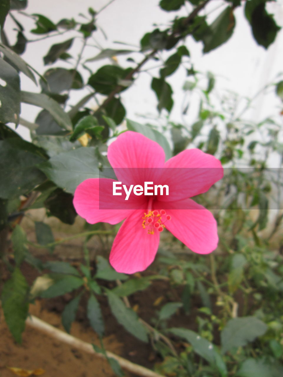 flower, petal, pink color, flower head, beauty in nature, fragility, nature, growth, focus on foreground, blooming, freshness, plant, day, outdoors, no people, close-up, hibiscus, periwinkle, petunia