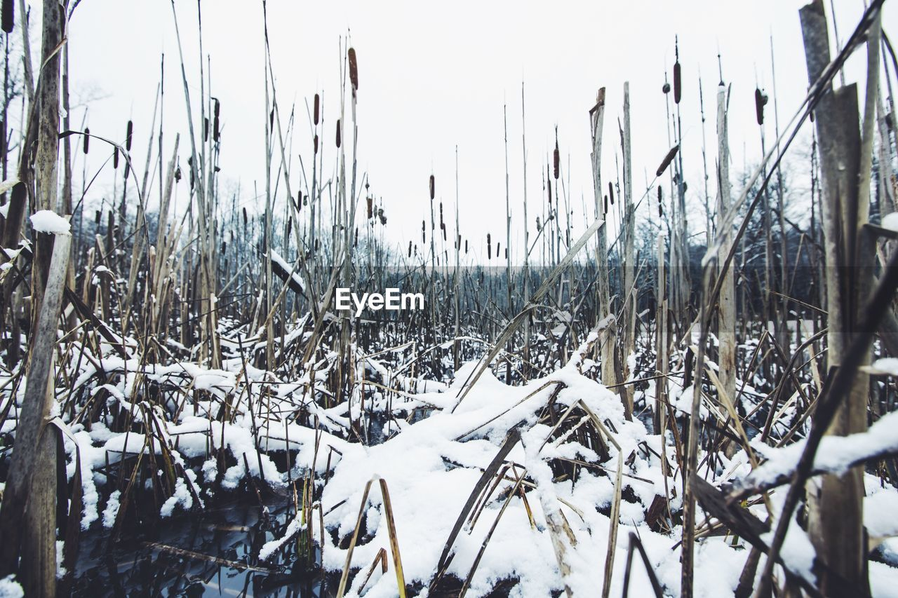 Snow covered cattails against clear sky