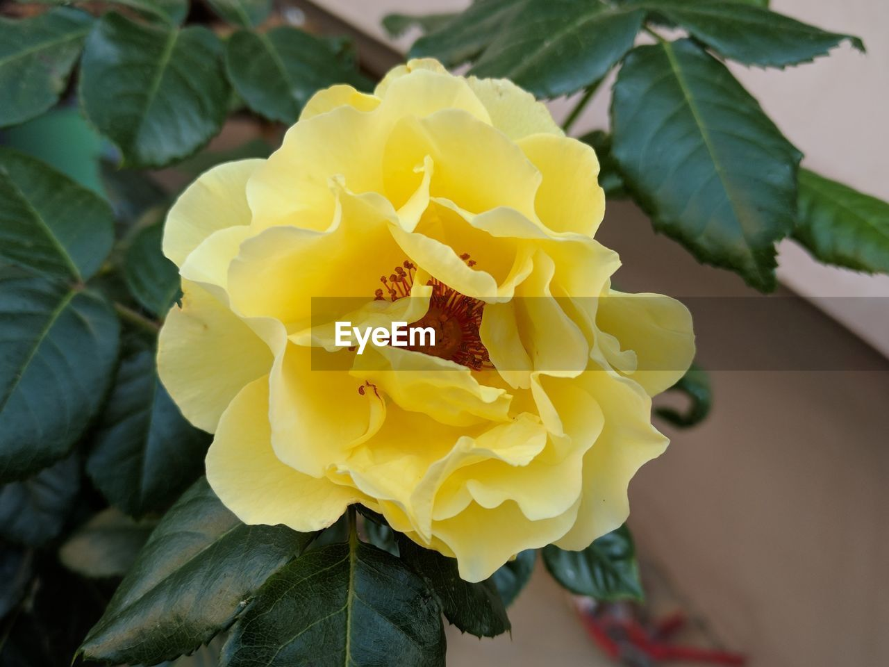 flower, petal, fragility, flower head, freshness, nature, growth, beauty in nature, outdoors, day, plant, close-up, yellow, focus on foreground, rose - flower, leaf, no people, blooming, animal themes