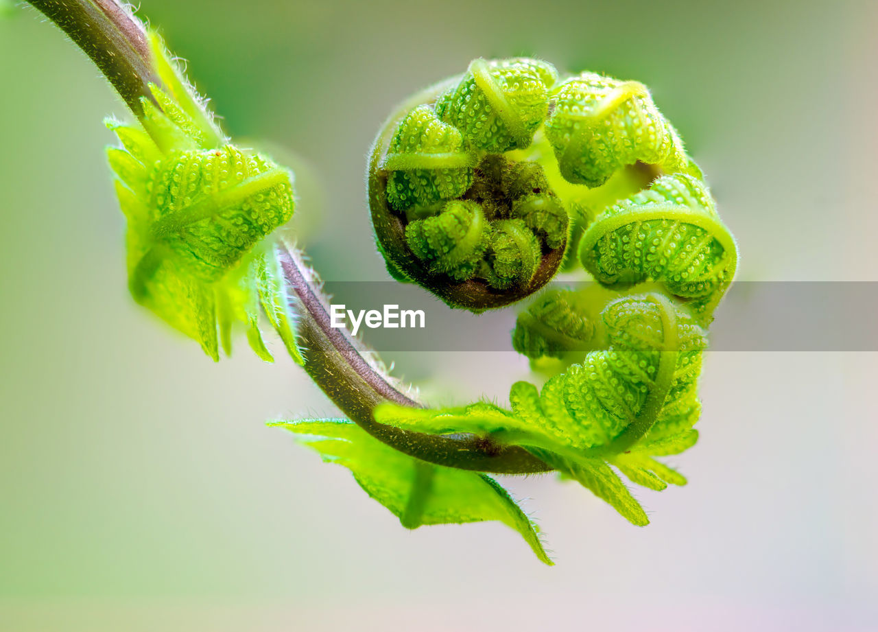 green color, close-up, freshness, plant, no people, food and drink, growth, leaf, nature, food, healthy eating, plant part, beauty in nature, fragility, vulnerability, flower, wellbeing, studio shot, focus on foreground, beginnings, sepal