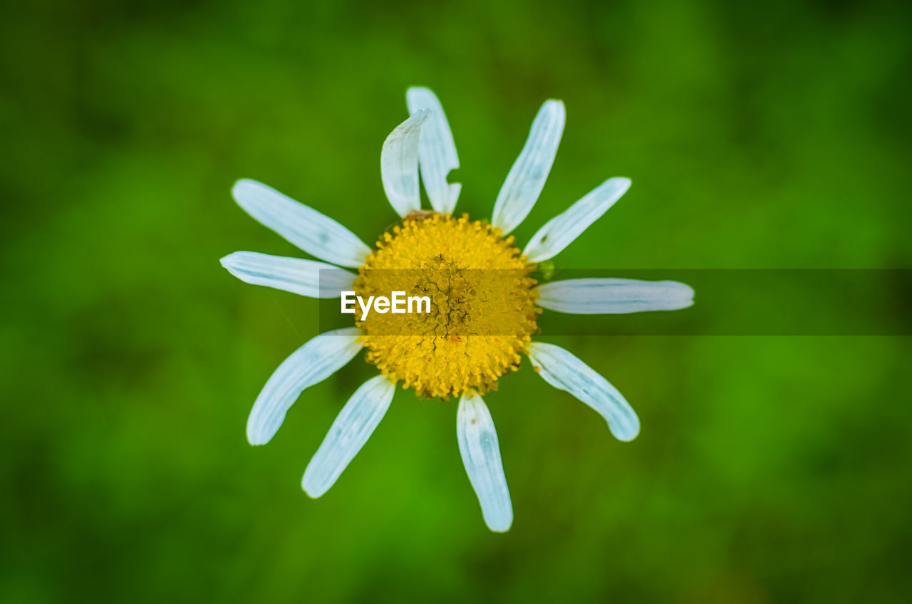flower, flowering plant, fragility, plant, vulnerability, petal, flower head, freshness, beauty in nature, inflorescence, growth, close-up, pollen, yellow, nature, no people, focus on foreground, daisy, day, outdoors