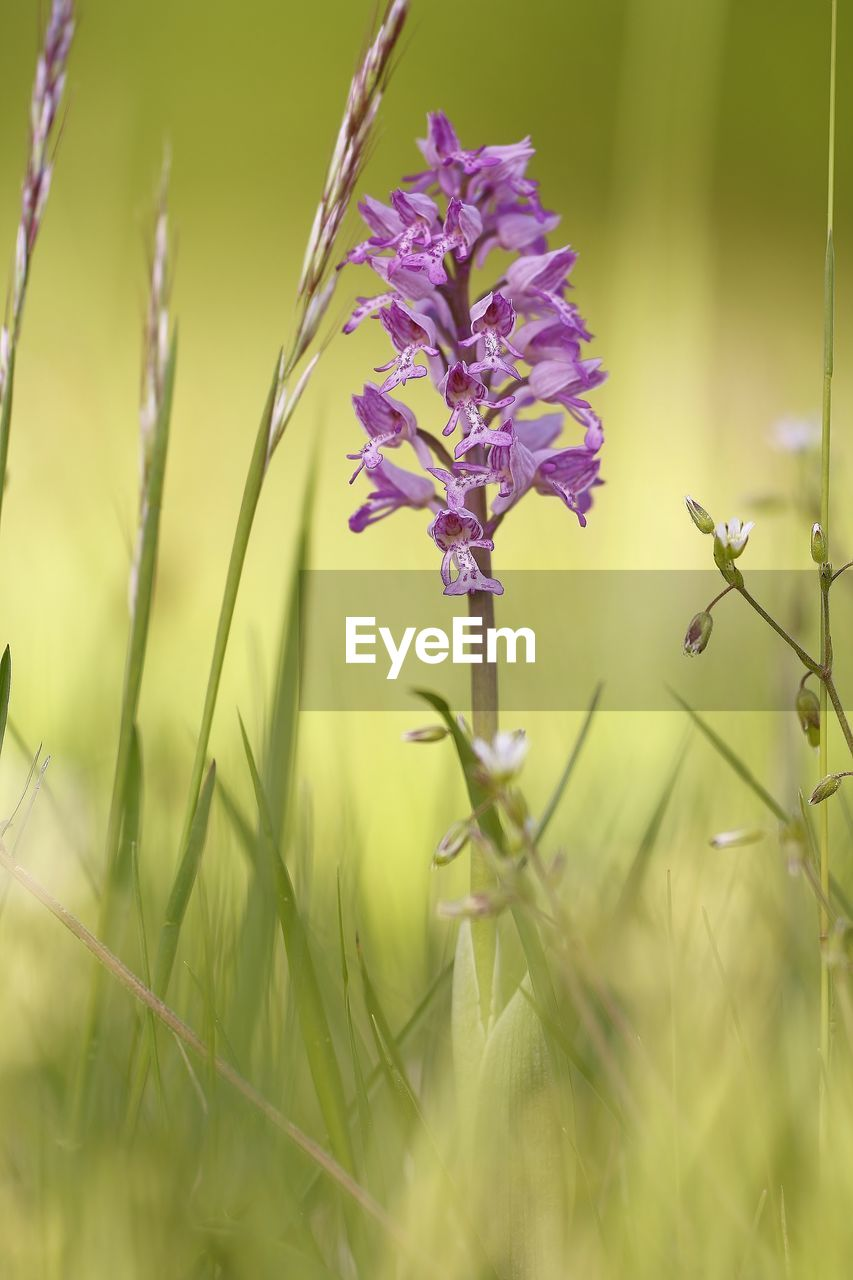 plant, growth, flower, flowering plant, selective focus, beauty in nature, fragility, vulnerability, freshness, close-up, nature, field, land, green color, day, no people, purple, grass, outdoors, plant stem, lavender, blade of grass