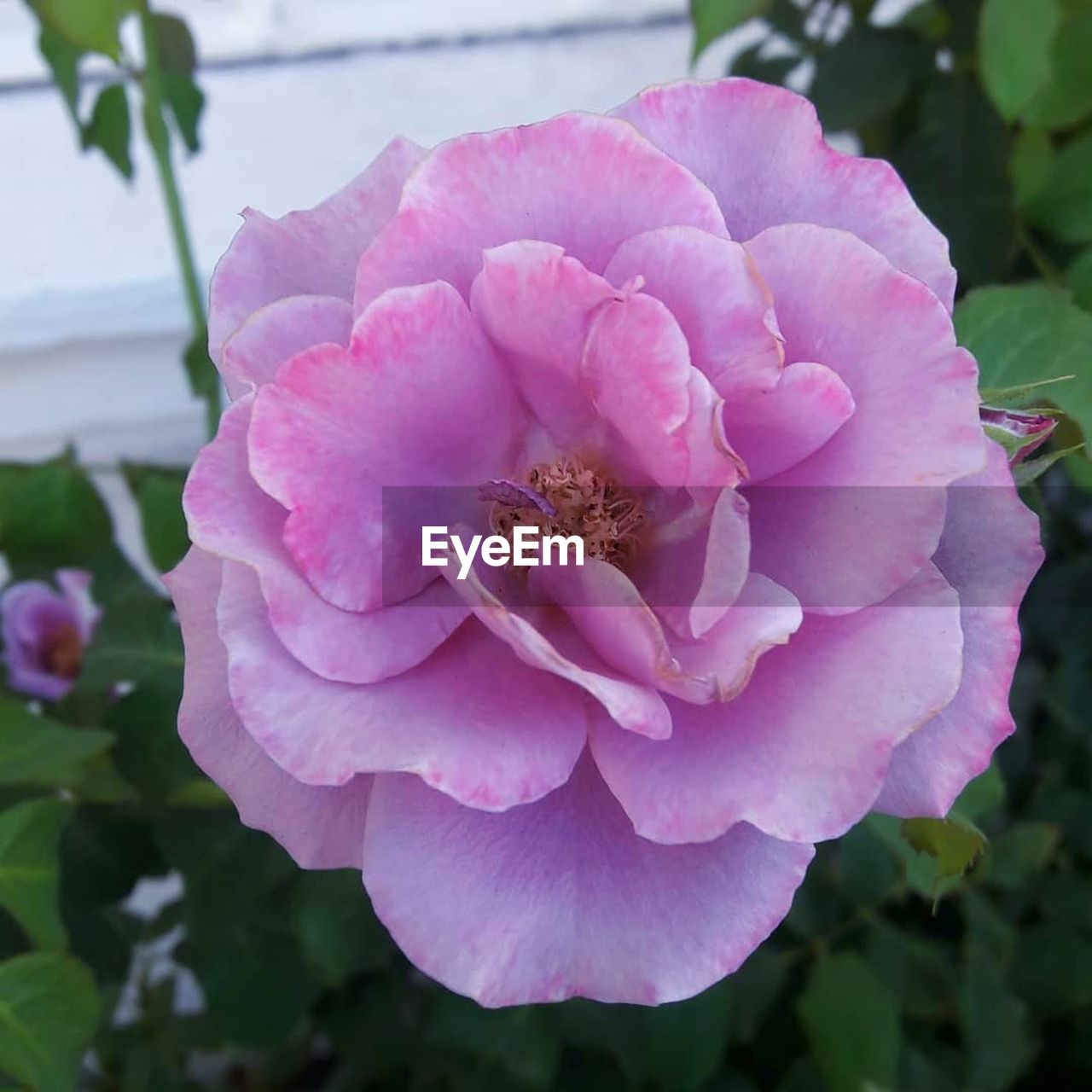 flower, flowering plant, plant, fragility, vulnerability, beauty in nature, petal, freshness, pink color, close-up, growth, inflorescence, flower head, focus on foreground, nature, rose, day, no people, outdoors, wild rose, pollen, purple