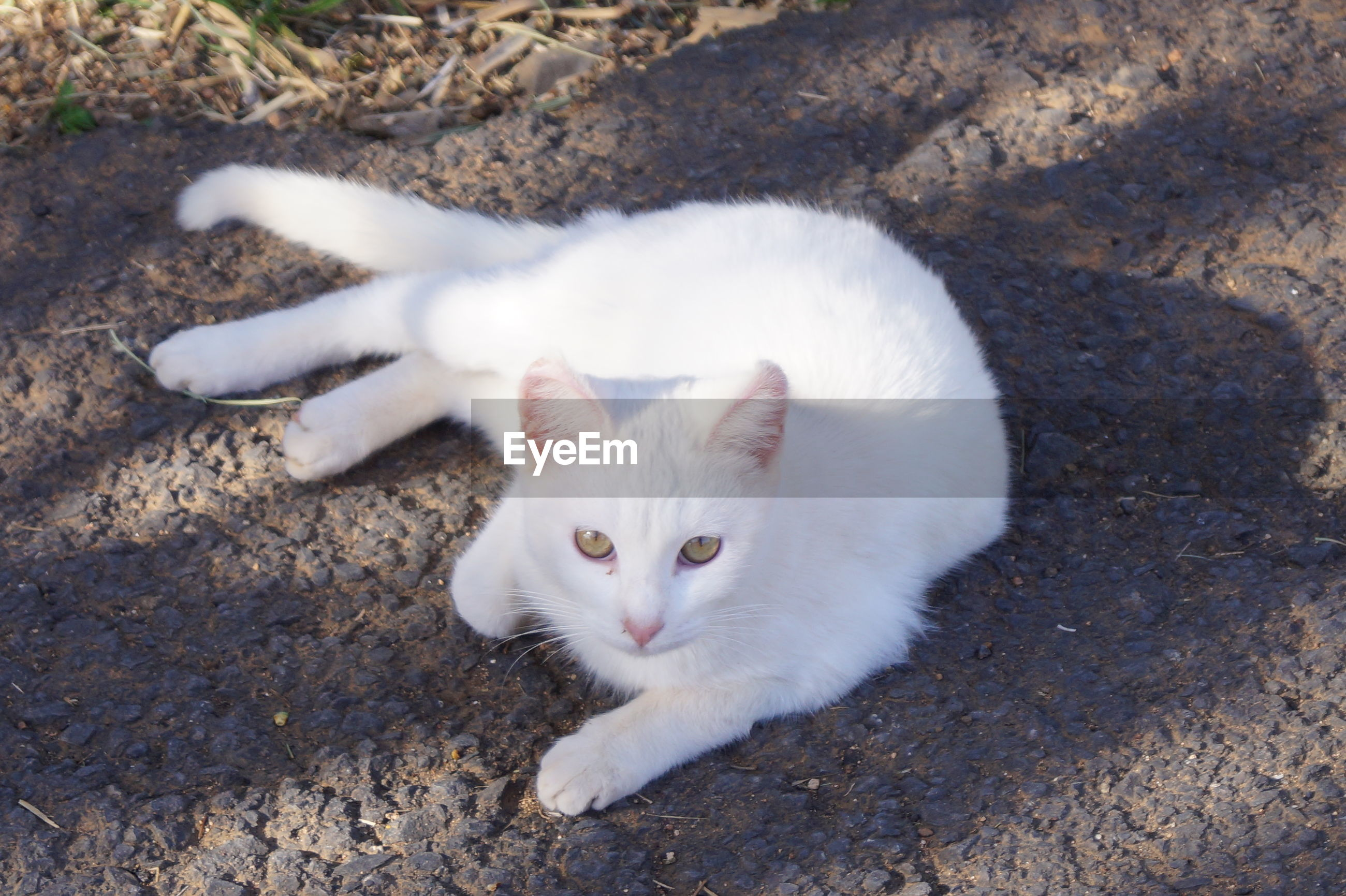 domestic cat, domestic animals, pets, animal themes, mammal, feline, one animal, high angle view, white color, looking at camera, portrait, outdoors, day, no people, kitten, nature, close-up