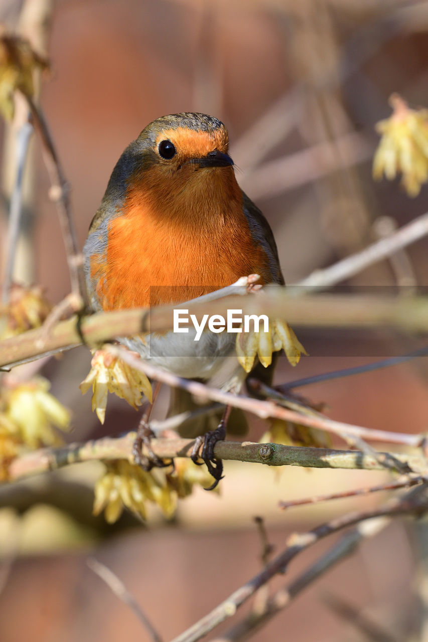 animal wildlife, animal themes, one animal, animal, animals in the wild, perching, bird, vertebrate, selective focus, plant, branch, no people, close-up, nature, day, focus on foreground, tree, robin, outdoors, beauty in nature