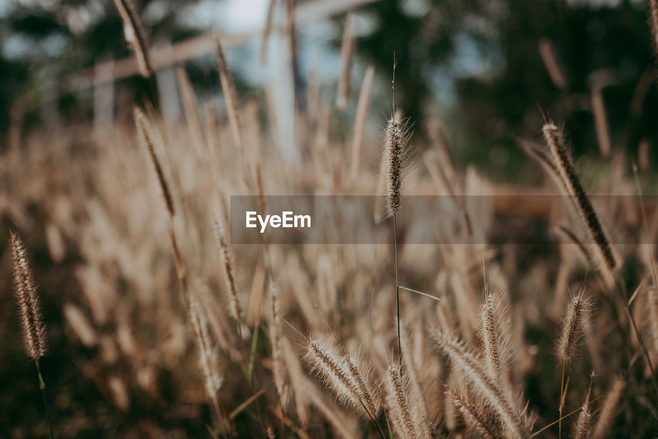 plant, growth, field, nature, no people, selective focus, close-up, day, tranquility, focus on foreground, land, beauty in nature, outdoors, crop, sunlight, fragility, brown, dry, vulnerability, agriculture, timothy grass, stalk