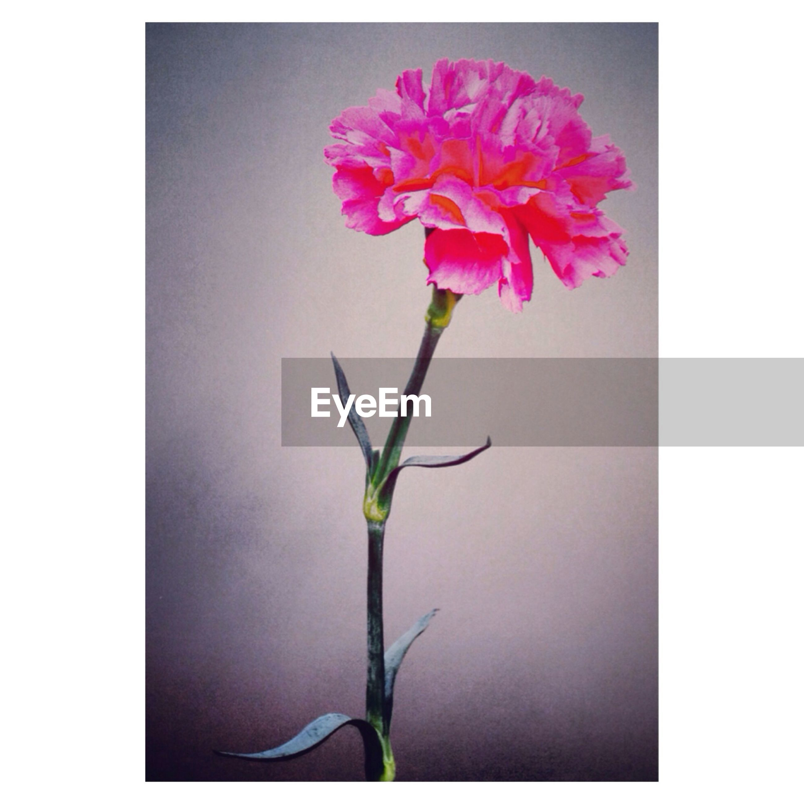 flower, freshness, fragility, petal, transfer print, growth, flower head, stem, beauty in nature, plant, auto post production filter, leaf, nature, copy space, close-up, studio shot, bud, pink color, blooming, blossom