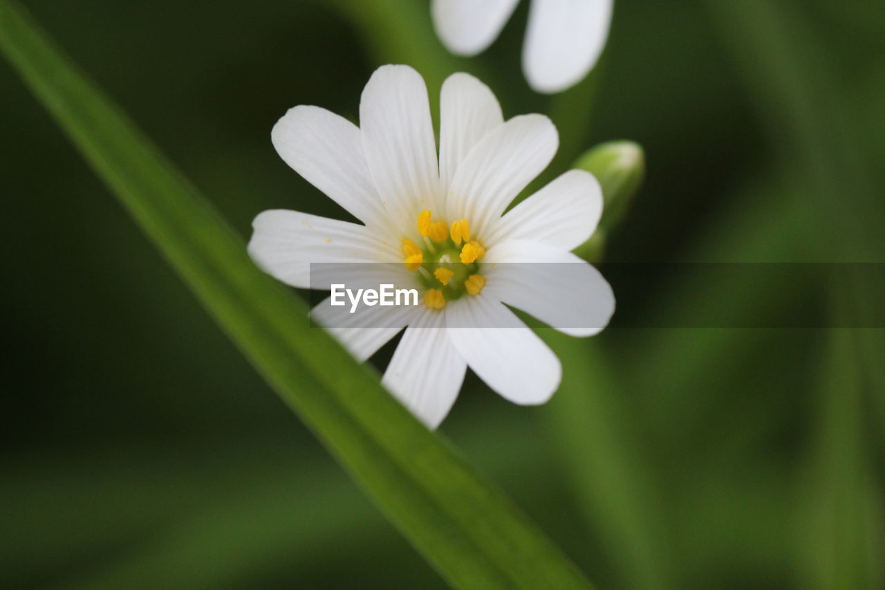 flowering plant, flower, plant, vulnerability, petal, fragility, freshness, growth, beauty in nature, close-up, flower head, inflorescence, white color, no people, nature, day, selective focus, pollen, green color, botany, outdoors
