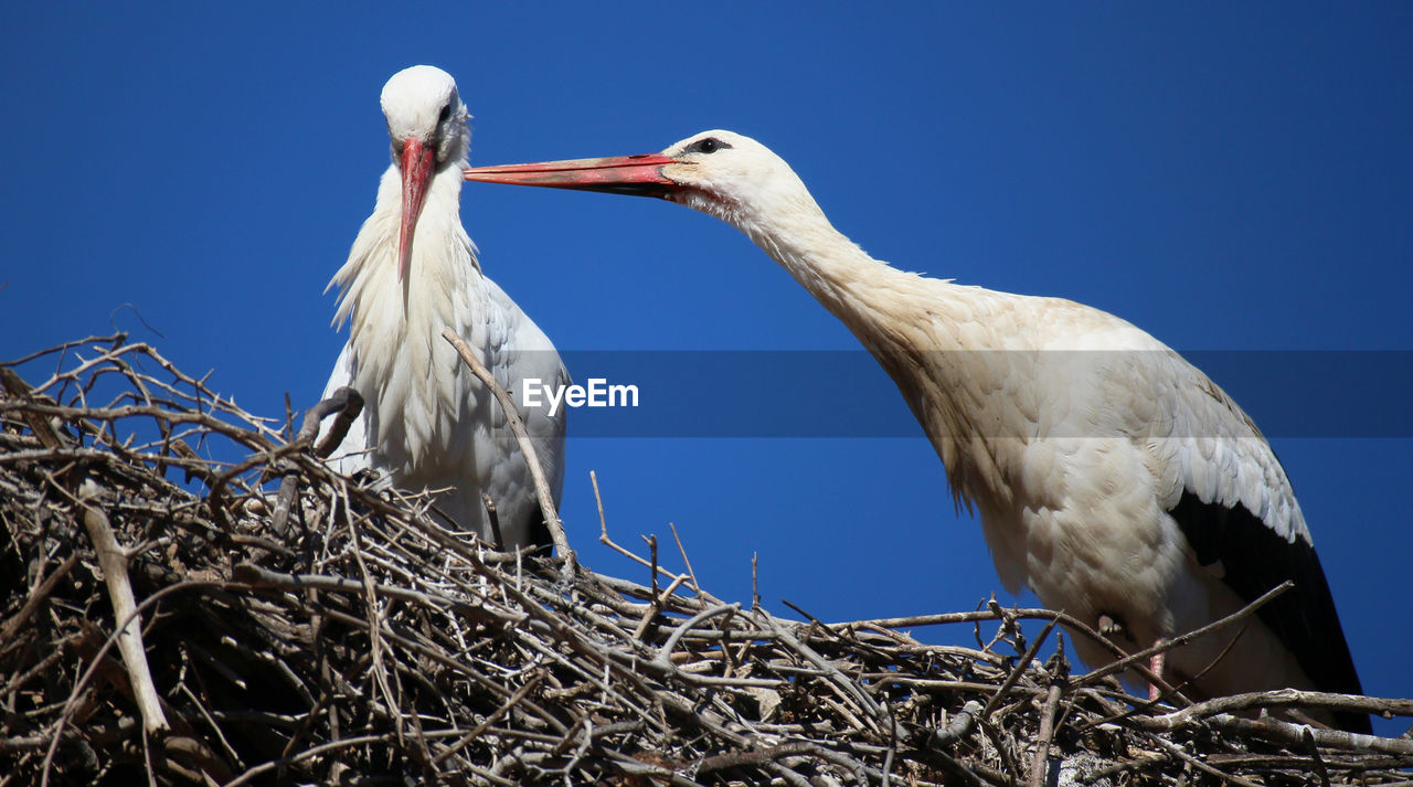 bird, animal themes, vertebrate, animal, animals in the wild, two animals, group of animals, animal wildlife, no people, sky, animal nest, nature, low angle view, stork, day, perching, beak, clear sky, white color, outdoors, animal family