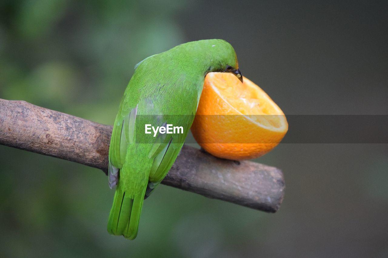 Close-Up Of Bird Eating Fruit