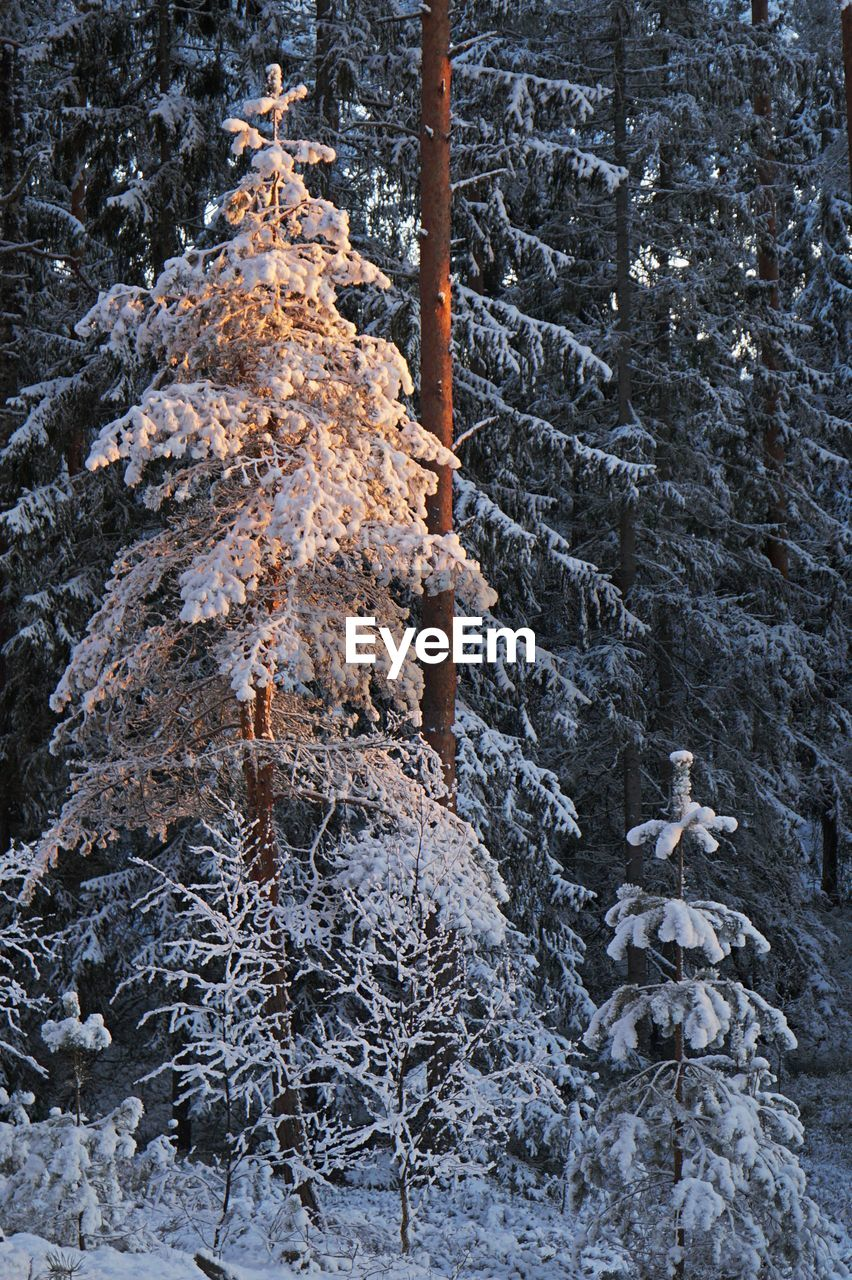 tree, plant, cold temperature, snow, winter, no people, nature, day, beauty in nature, tranquility, outdoors, land, tree trunk, trunk, frozen, non-urban scene, scenics - nature, growth, forest, coniferous tree, pine tree, pine woodland