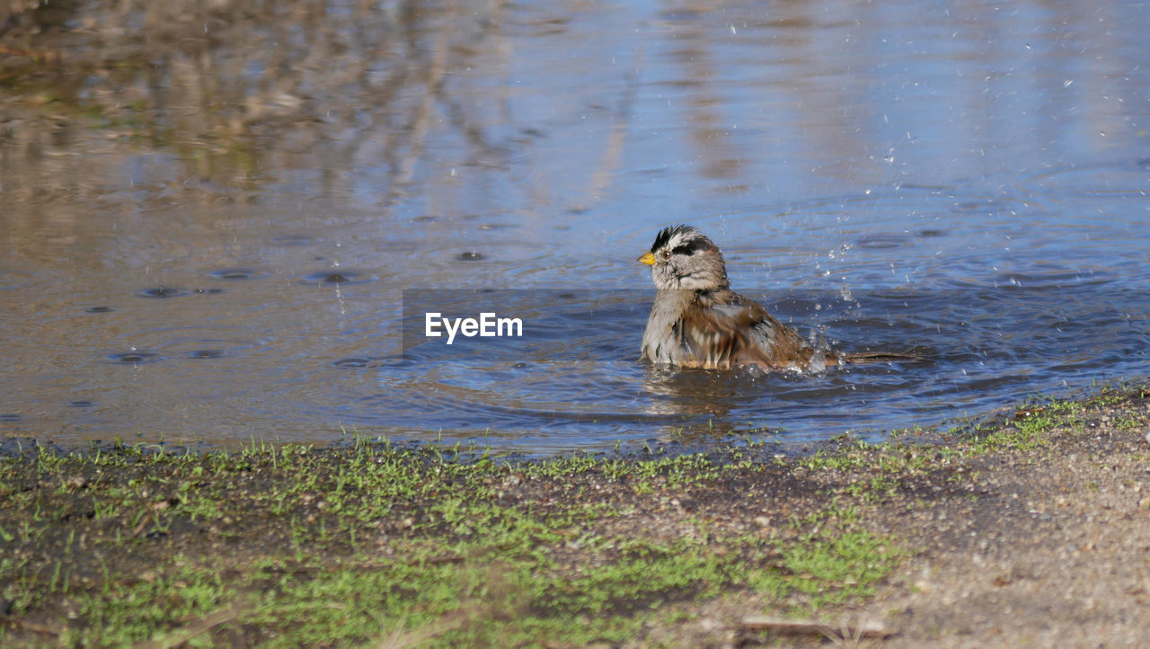 animal themes, animals in the wild, animal, water, one animal, animal wildlife, vertebrate, bird, lake, swimming, nature, day, no people, duck, mammal, selective focus, motion, poultry, outdoors