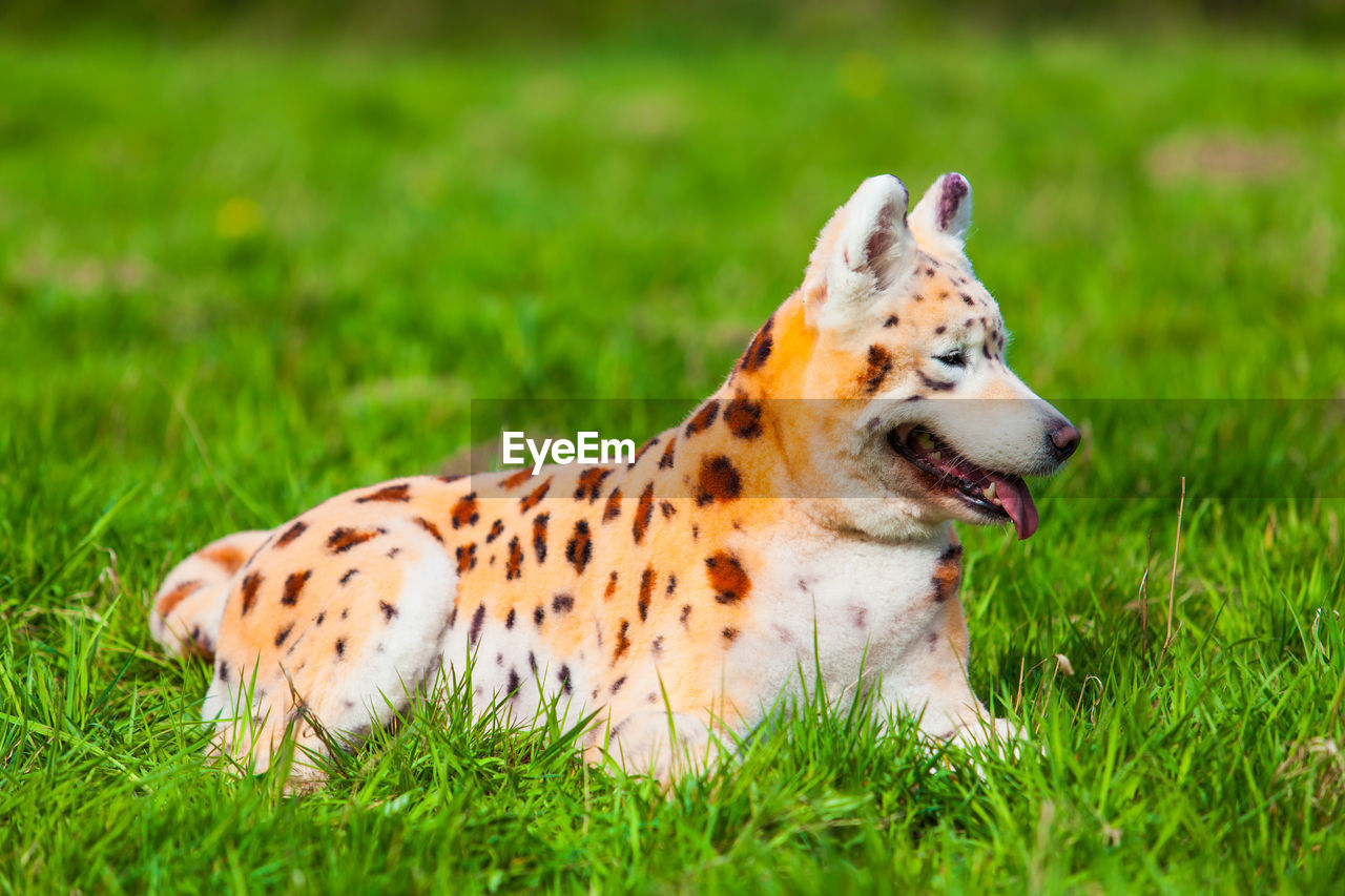 grass, animal, one animal, mammal, animal themes, plant, field, vertebrate, pets, land, domestic animals, green color, nature, looking away, day, dog, relaxation, no people, canine, domestic, outdoors, mouth open