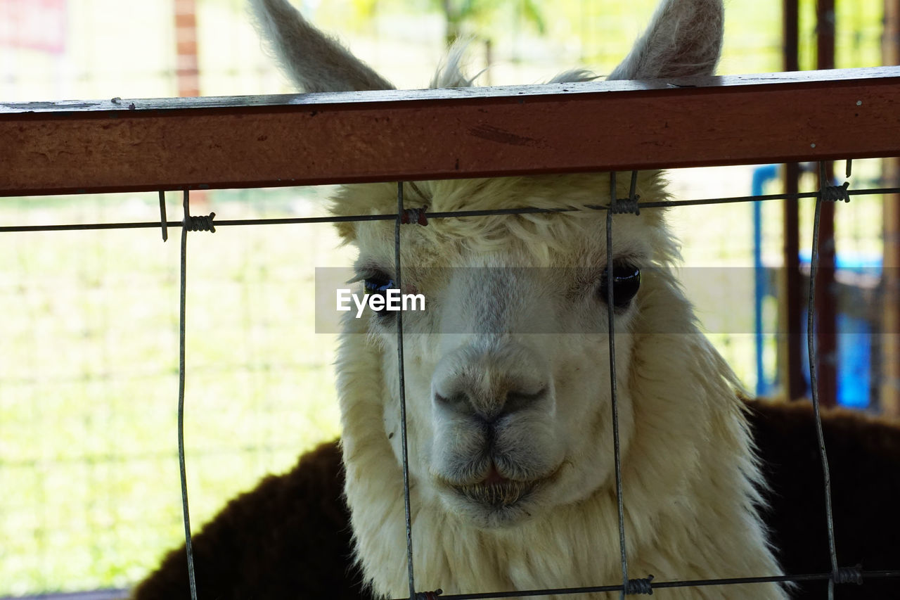 animal themes, animal, mammal, one animal, vertebrate, livestock, domestic animals, pets, domestic, focus on foreground, portrait, close-up, animal body part, boundary, barrier, fence, looking at camera, day, animal head, no people, outdoors, animal pen, herbivorous, snout, animal nose, animal mouth