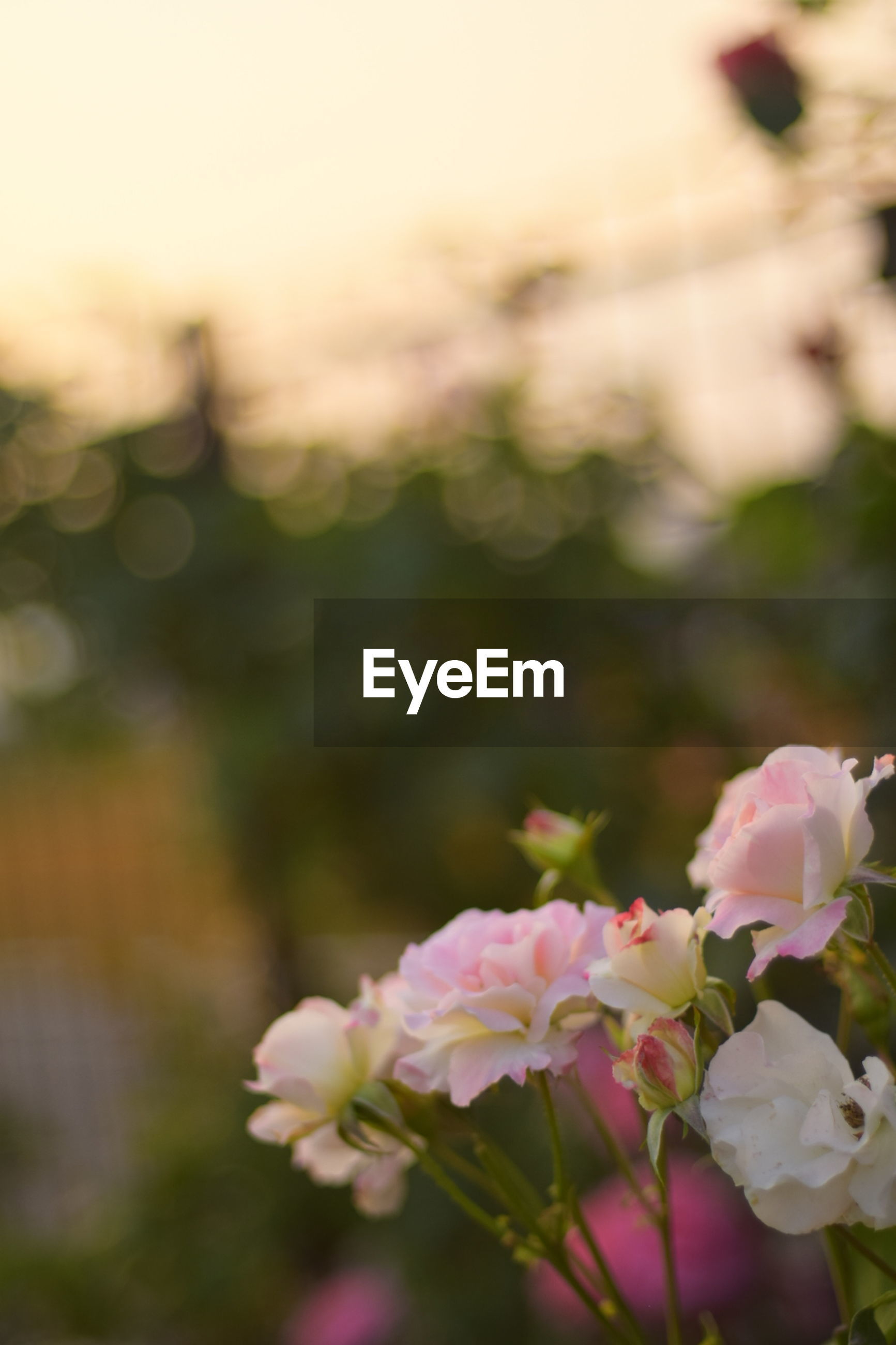 flower, petal, freshness, fragility, focus on foreground, growth, pink color, flower head, beauty in nature, close-up, blooming, nature, plant, in bloom, selective focus, park - man made space, blossom, outdoors, day, botany