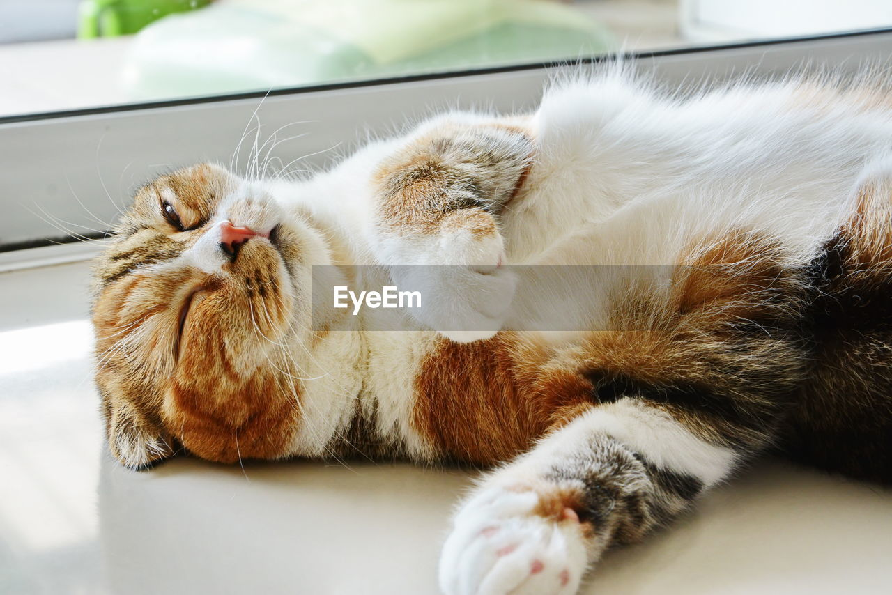 cat, domestic cat, domestic, pets, feline, domestic animals, mammal, animal themes, animal, vertebrate, relaxation, one animal, resting, sleeping, indoors, no people, lying down, close-up, whisker, eyes closed