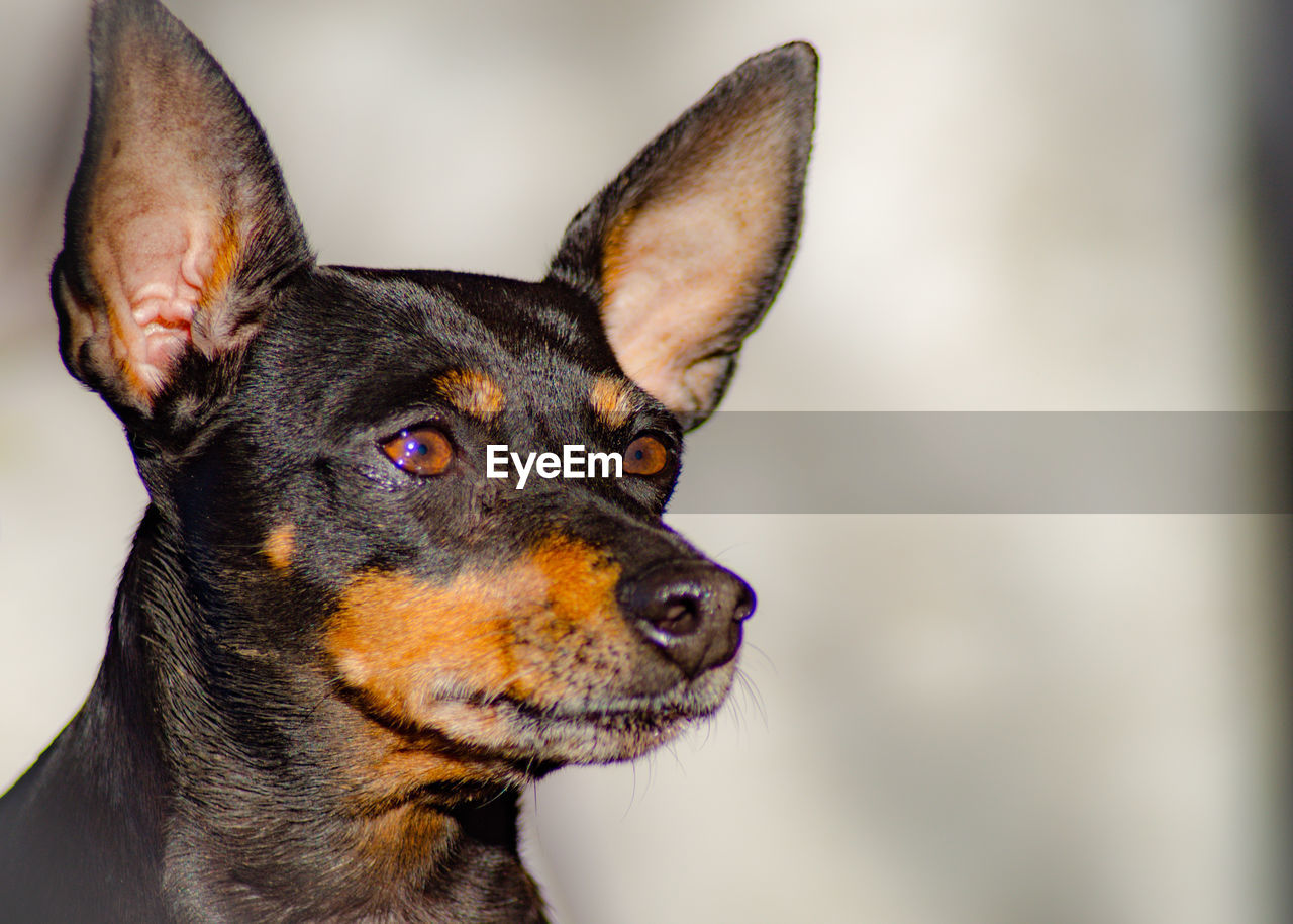 domestic animals, pets, domestic, mammal, one animal, dog, animal themes, canine, animal, close-up, vertebrate, looking away, looking, animal body part, focus on foreground, no people, animal head, indoors, black color, portrait, animal ear, animal eye, snout, chihuahua - dog, animal mouth