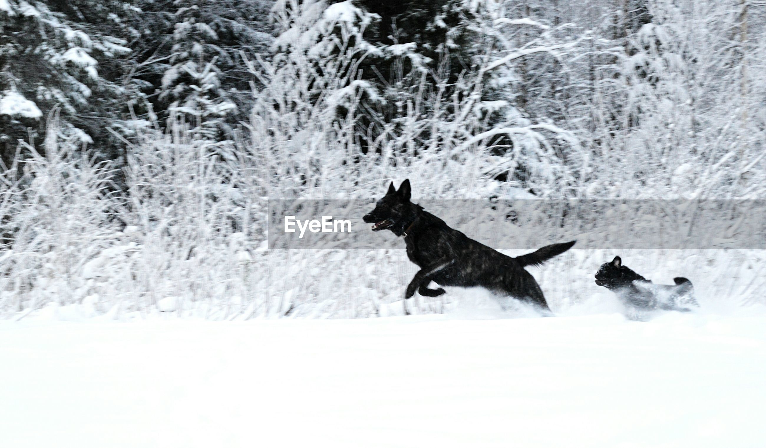 animal themes, snow, winter, cold temperature, mammal, domestic animals, season, dog, animals in the wild, wildlife, one animal, pets, nature, field, weather, full length, walking, high angle view, running, two animals