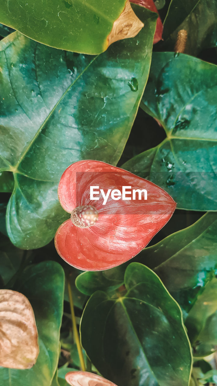 leaf, plant part, close-up, plant, growth, freshness, green color, nature, no people, beauty in nature, day, food and drink, water, high angle view, fruit, food, outdoors, healthy eating, red, flower head