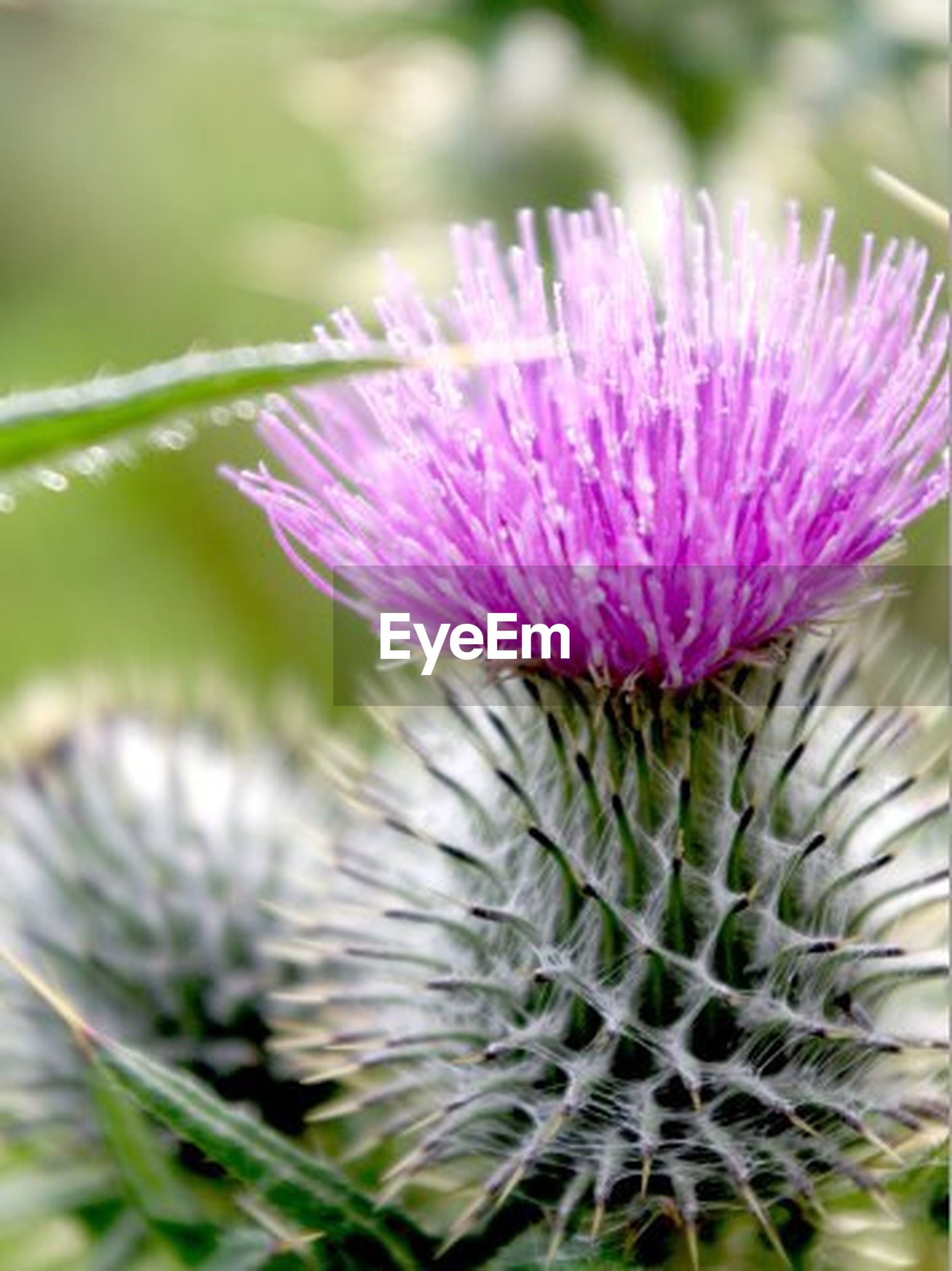 flower, nature, growth, close-up, purple, thorn, plant, freshness, beauty in nature, outdoors, day, flower head, no people, thistle, fragility
