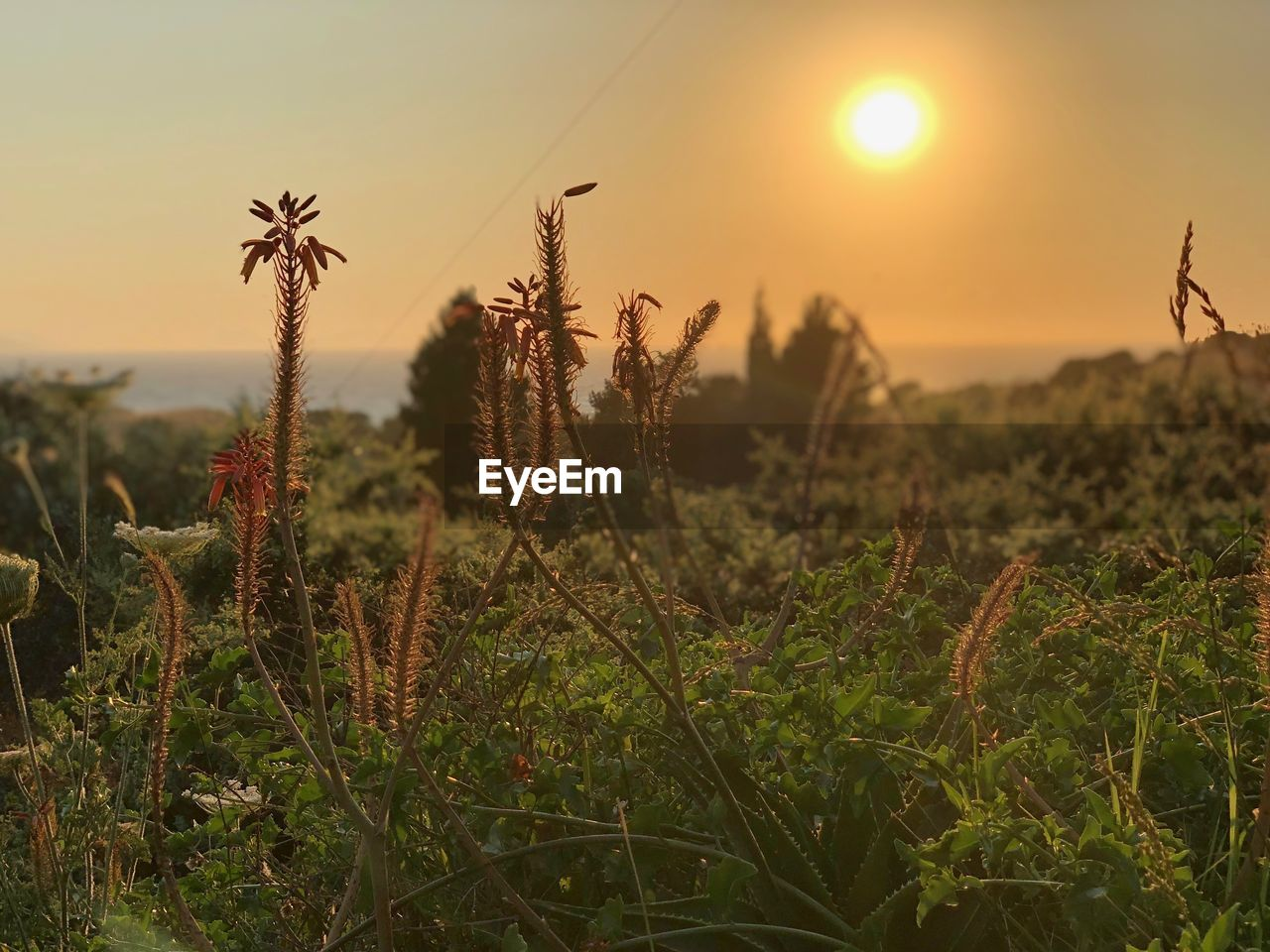 growth, beauty in nature, plant, sky, sunset, tranquility, field, land, nature, scenics - nature, tranquil scene, focus on foreground, sun, no people, landscape, close-up, sunlight, outdoors, rural scene, non-urban scene, stalk