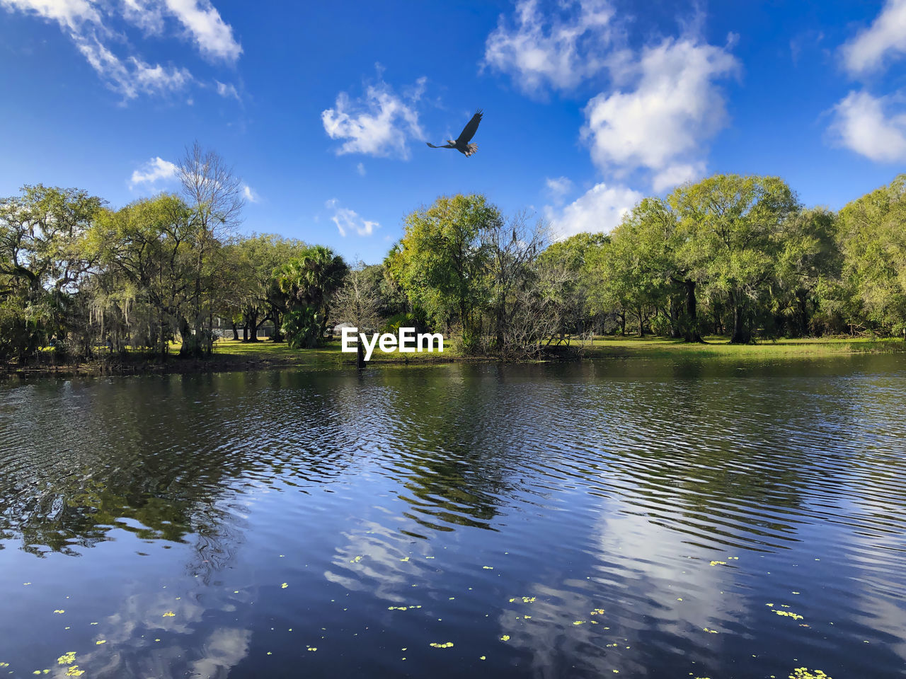 BIRDS FLYING OVER LAKE WITH TREES IN BACKGROUND