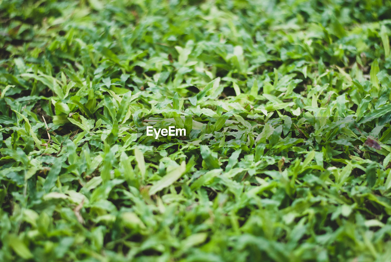 green color, selective focus, plant part, leaf, growth, plant, nature, full frame, beauty in nature, no people, foliage, land, close-up, food and drink, lush foliage, backgrounds, outdoors, field, tranquility, freshness, leaves, dew
