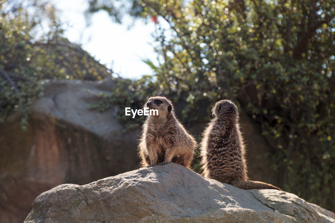 animal wildlife, animal themes, animals in the wild, animal, rock, rock - object, mammal, meerkat, solid, focus on foreground, nature, vertebrate, tree, day, no people, group of animals, plant, two animals, outdoors