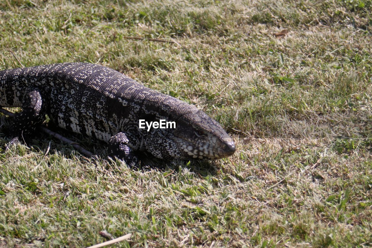 animal, animal wildlife, one animal, animal themes, animals in the wild, grass, reptile, nature, plant, crocodile, vertebrate, day, sign, no people, warning sign, relaxation, communication, environment, land, outdoors, animal head