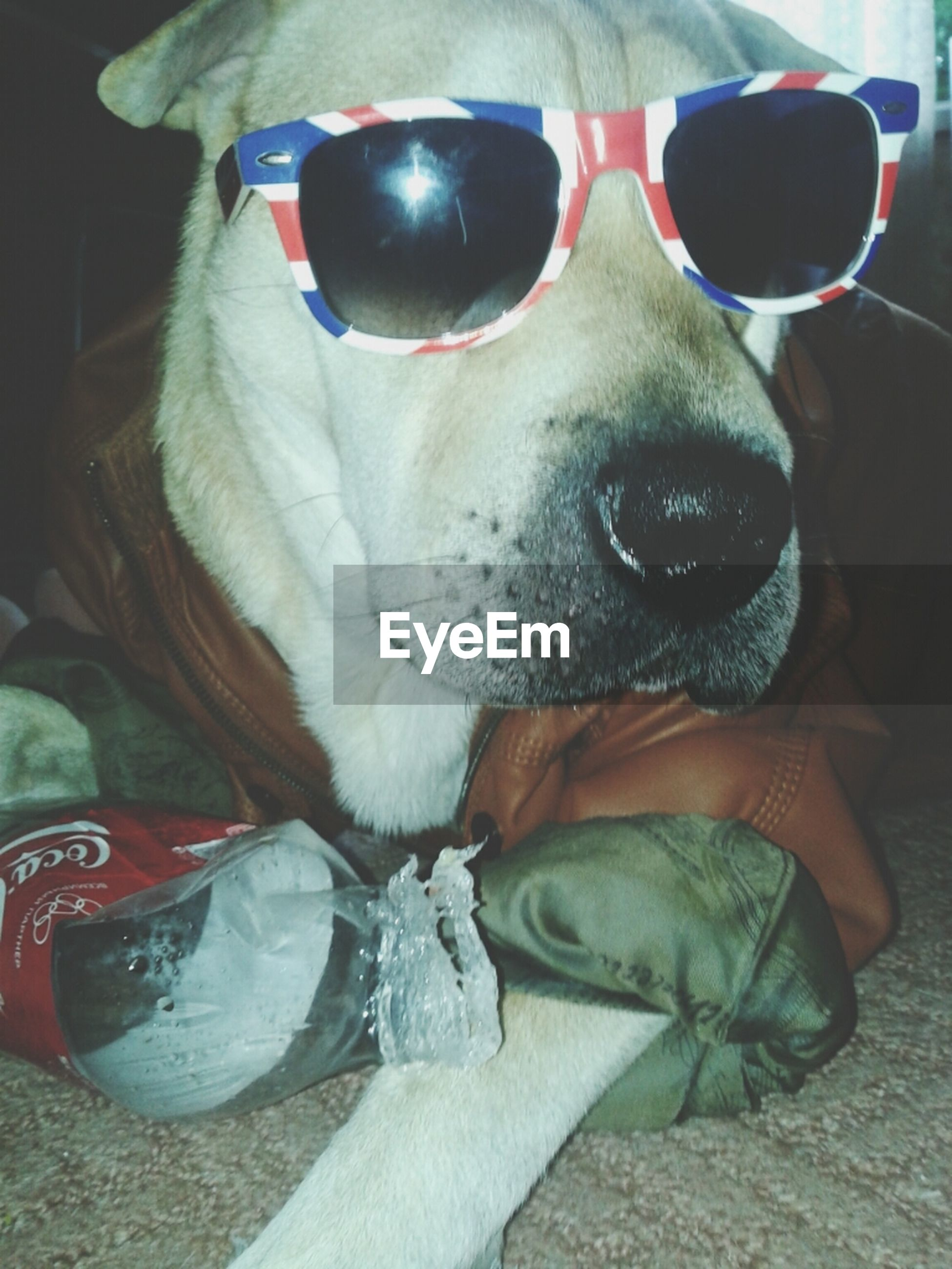 domestic animals, animal themes, one animal, dog, pets, mammal, close-up, one person, animal head, portrait, indoors, sunglasses, looking at camera, animal body part, front view, day, relaxation, horse, sitting, shoe