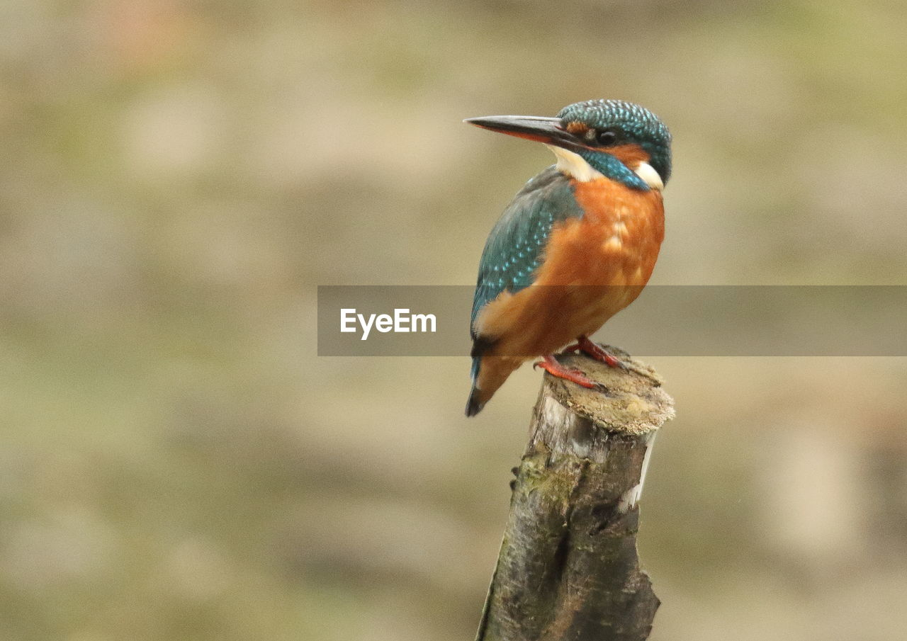 one animal, animal themes, animals in the wild, focus on foreground, kingfisher, animal wildlife, bird, no people, day, perching, nature, close-up, beauty in nature, outdoors