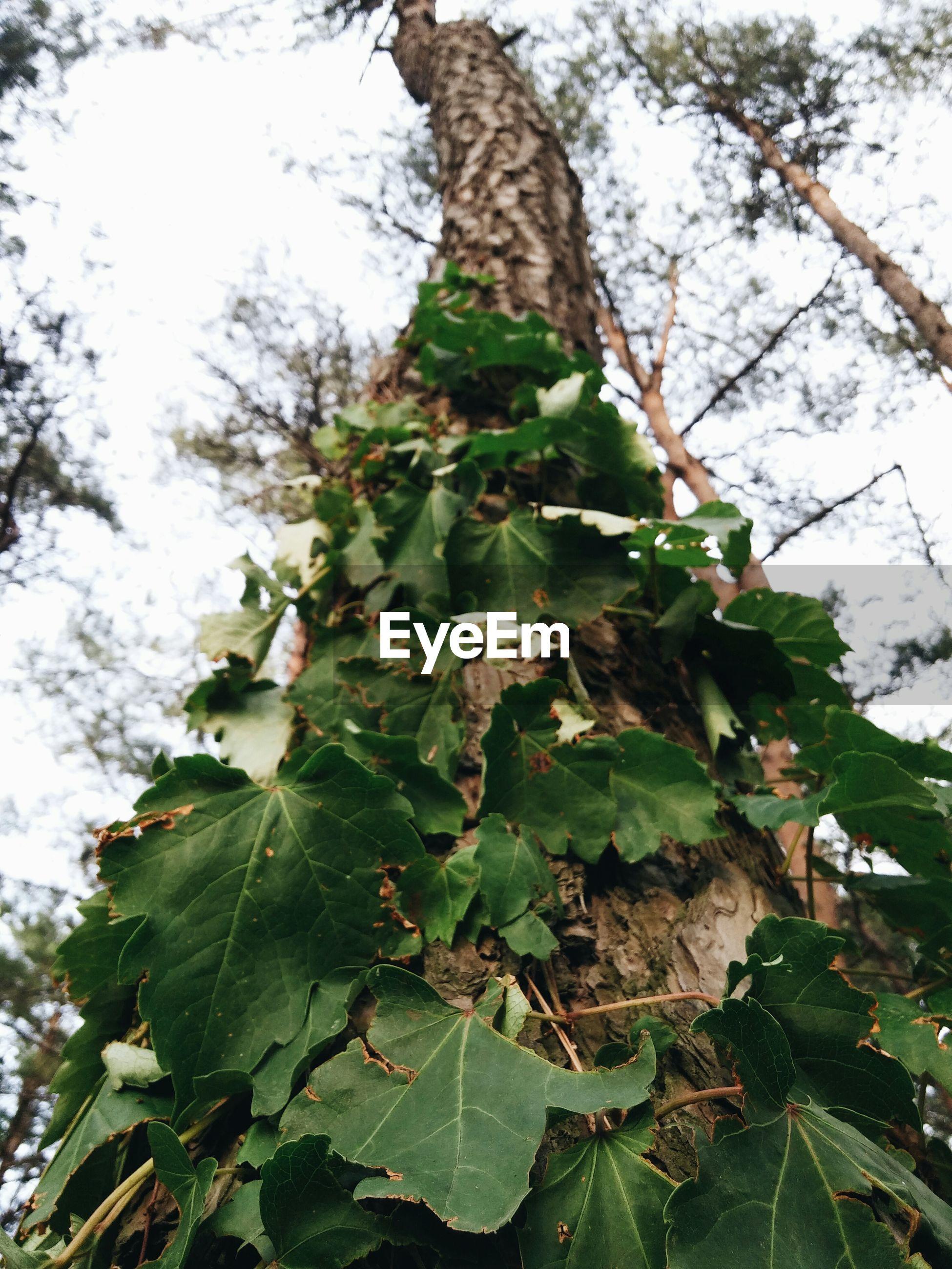 Creeper plant on tree trunk