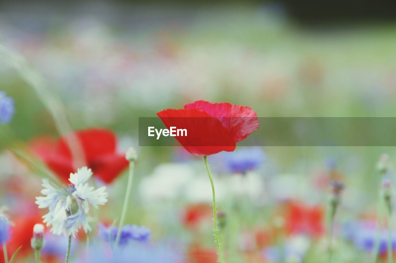 flower, beauty in nature, nature, growth, fragility, plant, petal, freshness, no people, flower head, close-up, blooming, day, red, outdoors