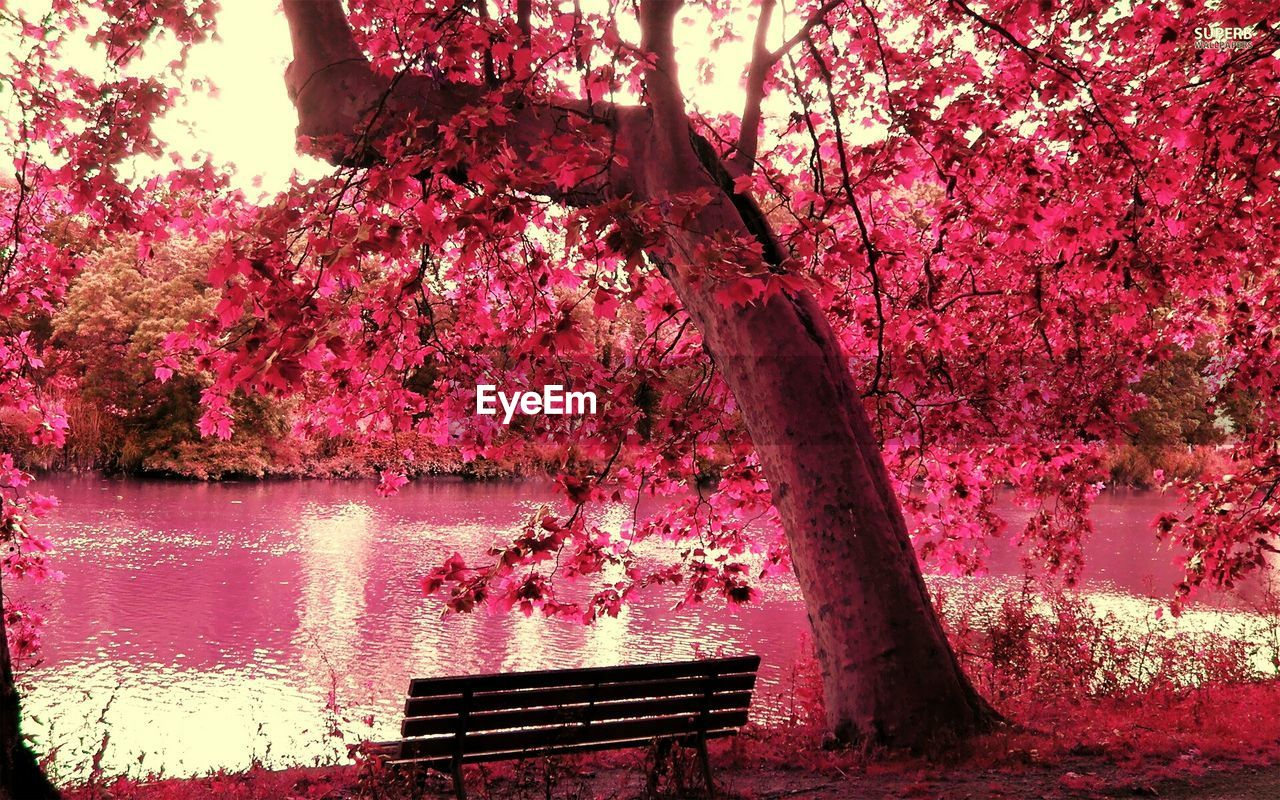 tree, beauty in nature, nature, growth, pink color, branch, flower, pink, blossom, no people, scenics, outdoors, tranquility, lake, fragility, tranquil scene, day, water, springtime, freshness, sky