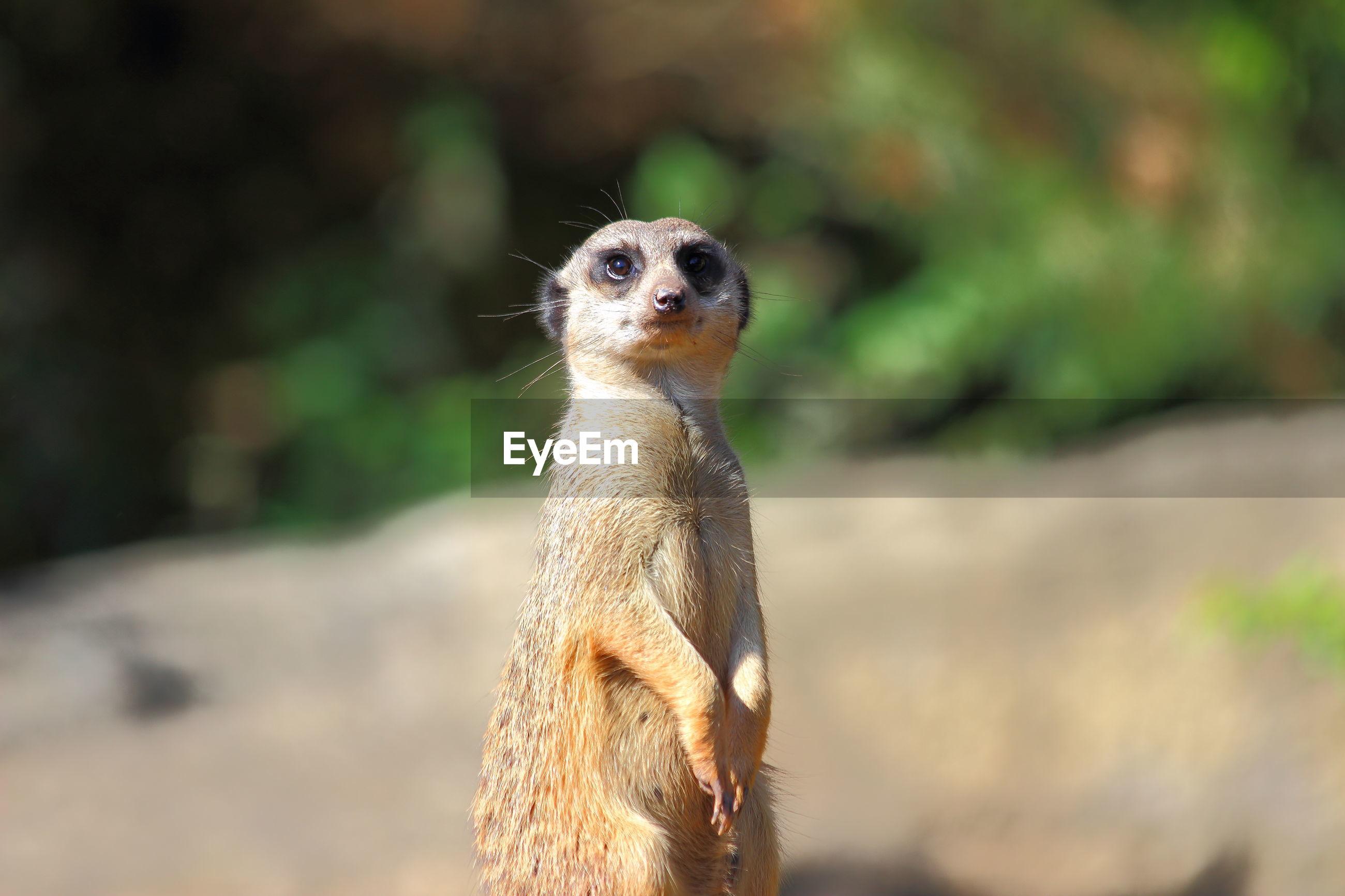 Meerkat outdoors