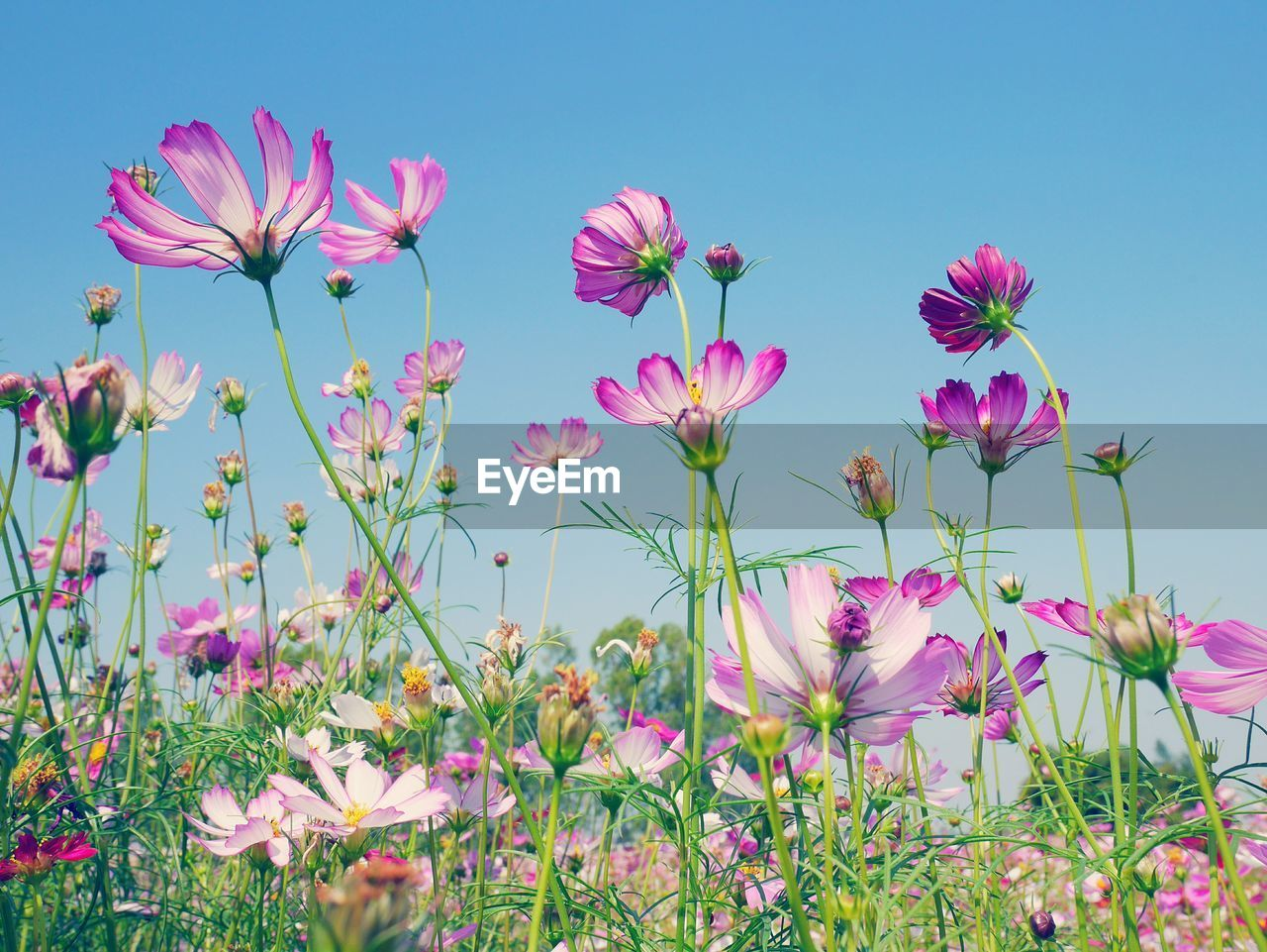 Close-Up Of Pink Cosmos Blooming On Field Against Clear Sky
