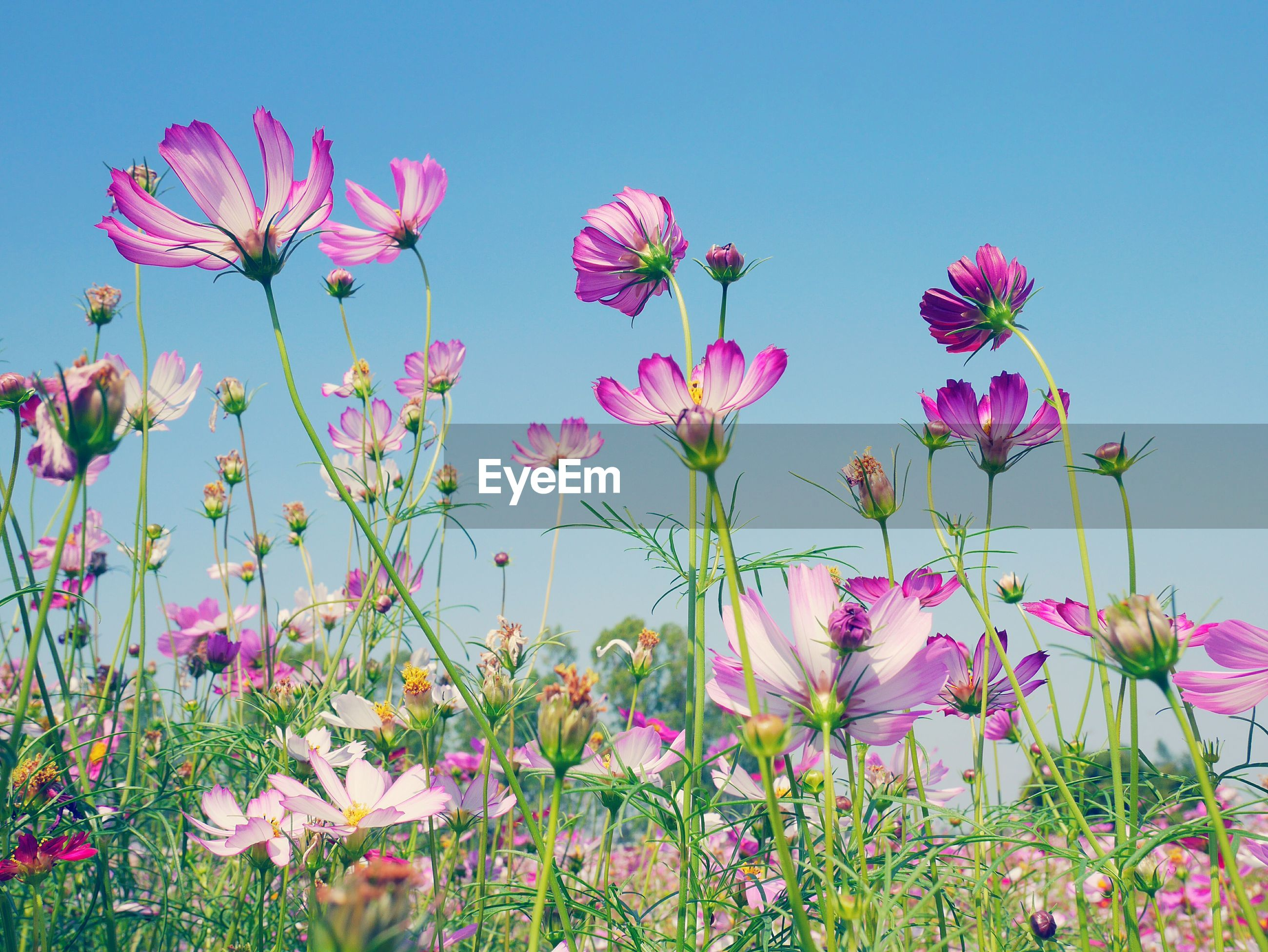 CLOSE-UP OF PINK COSMOS BLOOMING ON FIELD AGAINST SKY