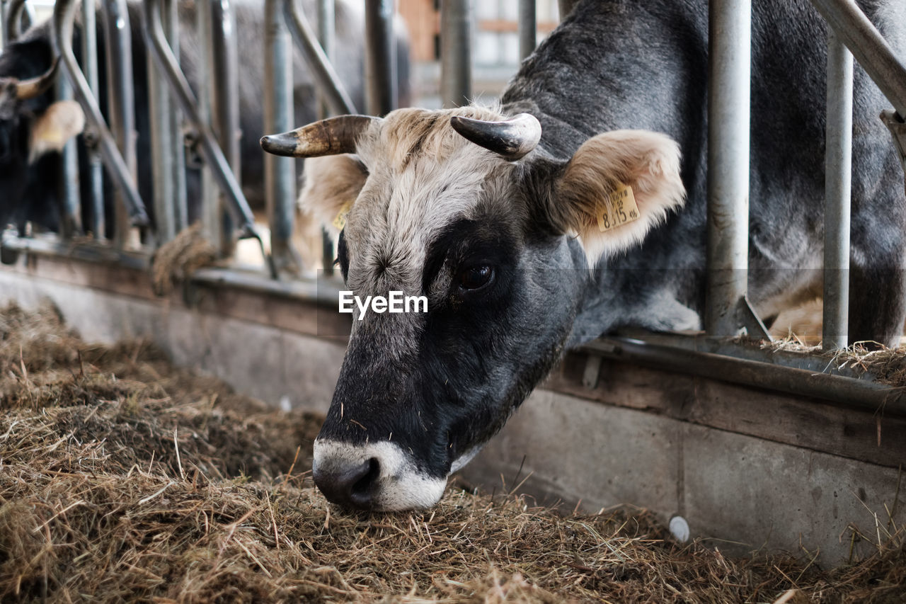mammal, animal themes, animal, livestock, domestic animals, domestic, vertebrate, pets, cattle, group of animals, cow, domestic cattle, herbivorous, focus on foreground, no people, day, plant, agriculture, nature, animal head, animal pen