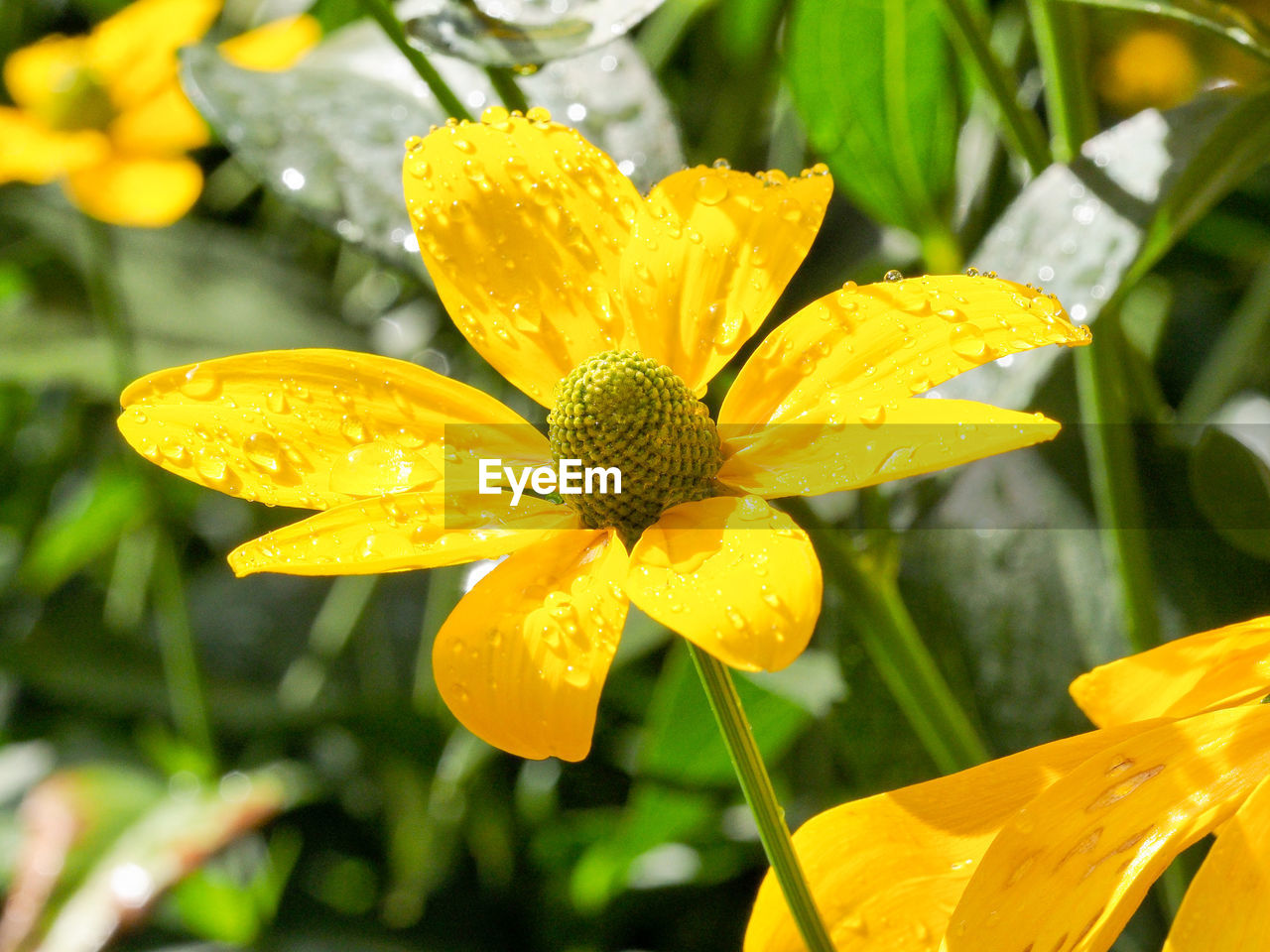 flower, beauty in nature, growth, petal, nature, freshness, fragility, yellow, drop, plant, wet, flower head, blooming, focus on foreground, outdoors, water, green color, day, close-up, no people