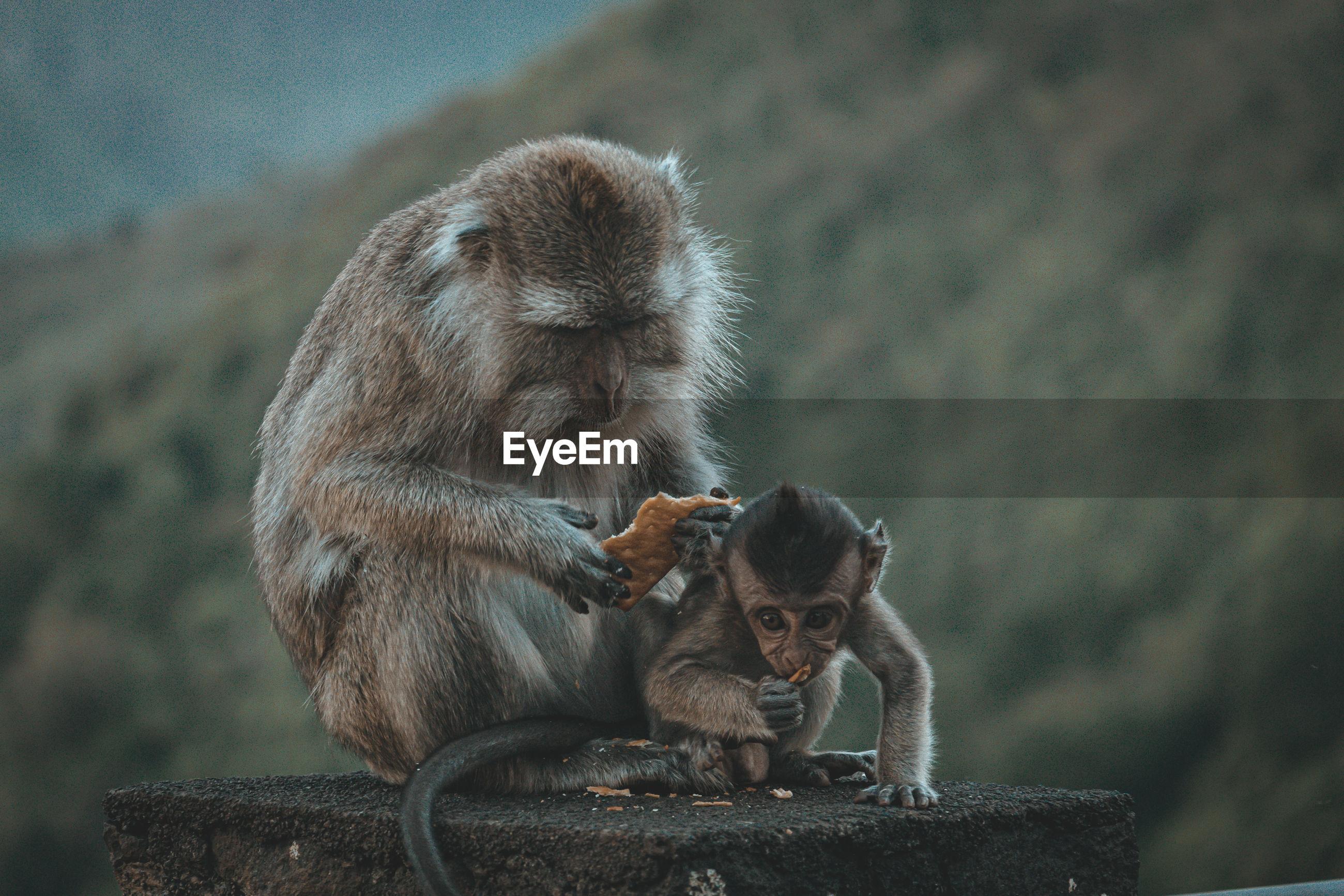 Two monkey sitting on wall