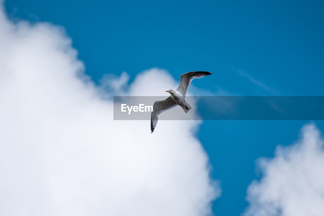 flying, animals in the wild, spread wings, vertebrate, animal, animal themes, animal wildlife, bird, cloud - sky, sky, one animal, low angle view, mid-air, seagull, nature, no people, blue, day, motion, beauty in nature, animal wing, outdoors, flight