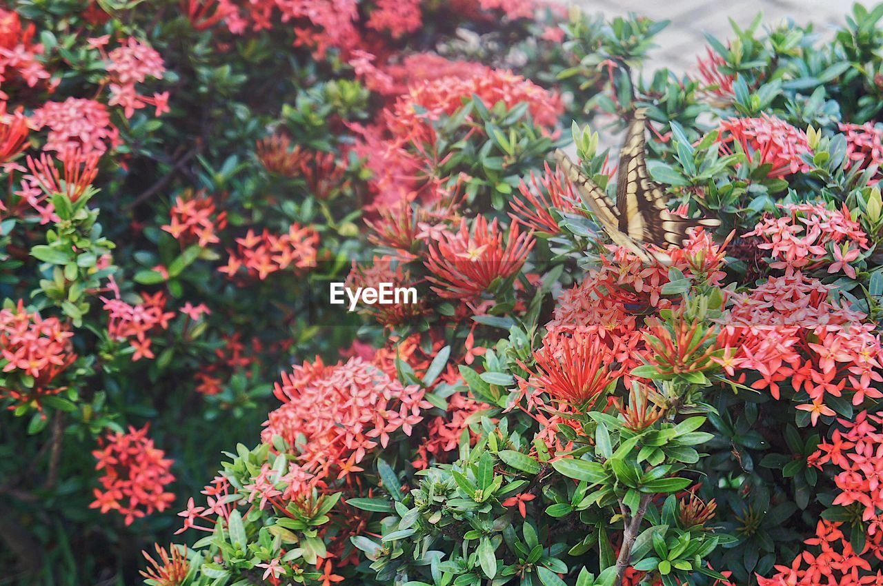 growth, flowering plant, flower, plant, beauty in nature, vulnerability, fragility, freshness, day, close-up, petal, green color, nature, no people, plant part, flower head, leaf, inflorescence, red, focus on foreground, outdoors, lantana, bunch of flowers