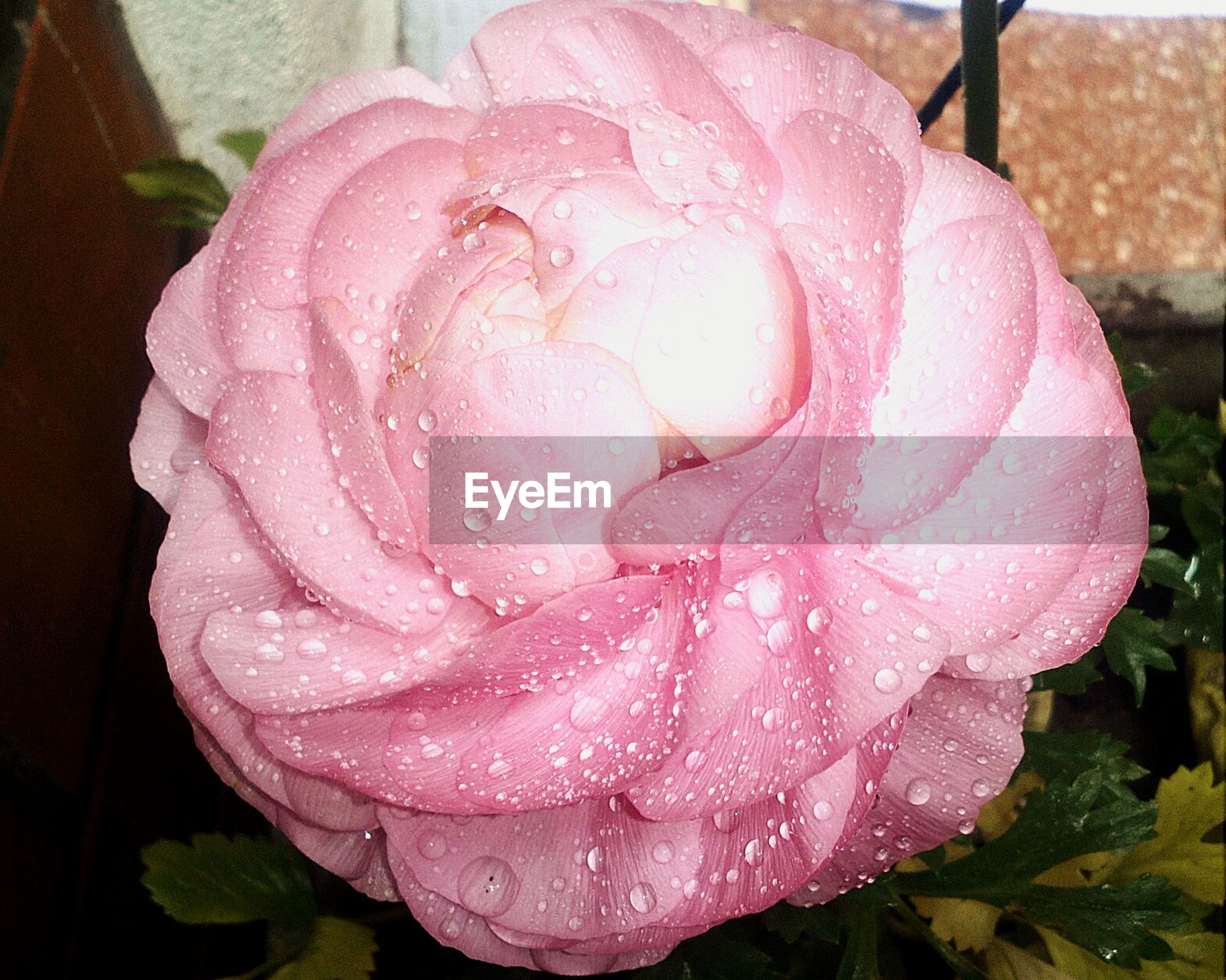 High angle view of fresh pink rose with water drops