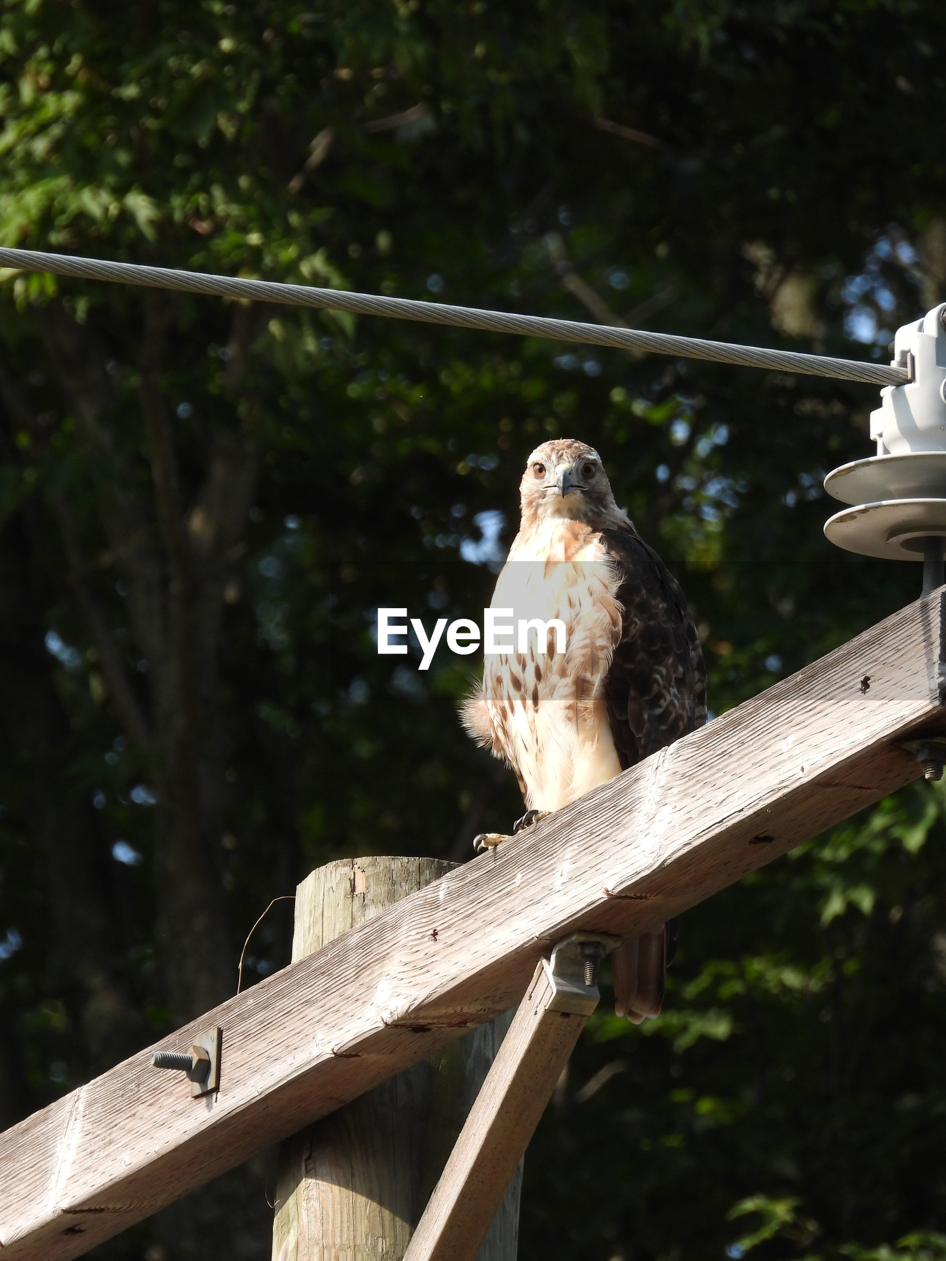 Red tailed hawk perched on a pole.
