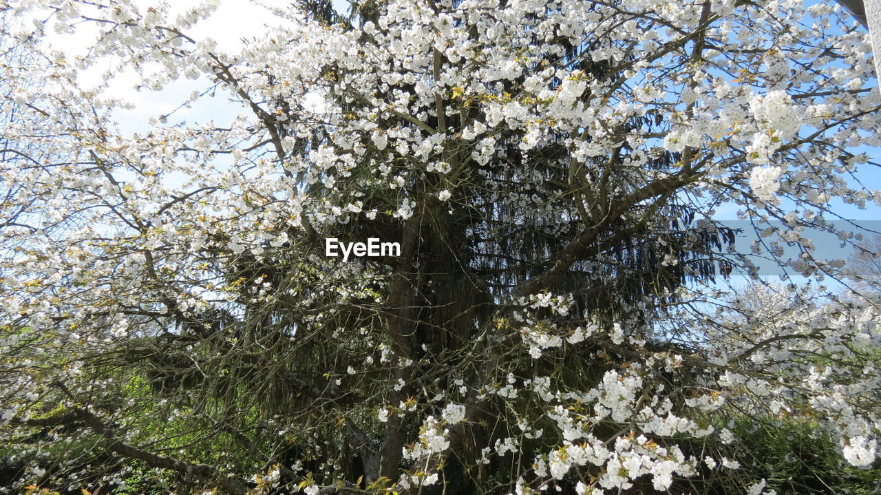 tree, growth, nature, branch, flower, blossom, beauty in nature, low angle view, springtime, no people, day, outdoors, fragility, freshness, close-up, sky